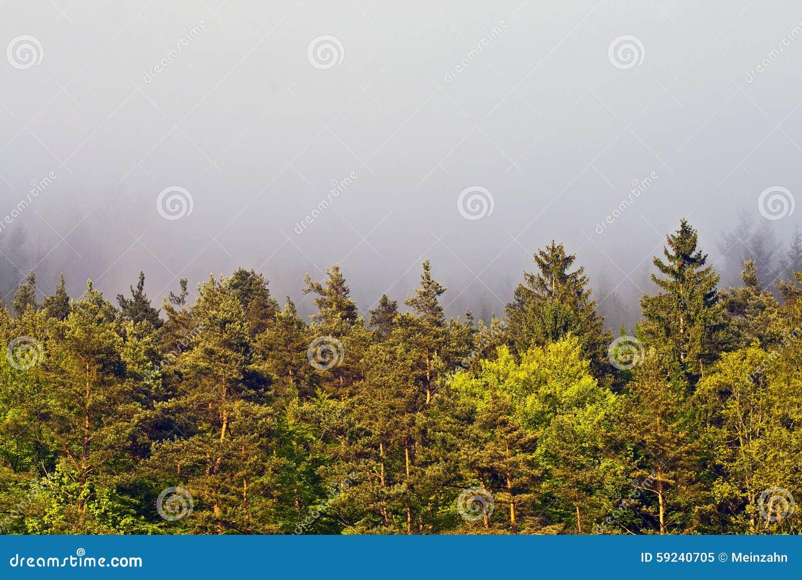 Niebla de la mañana en bosque