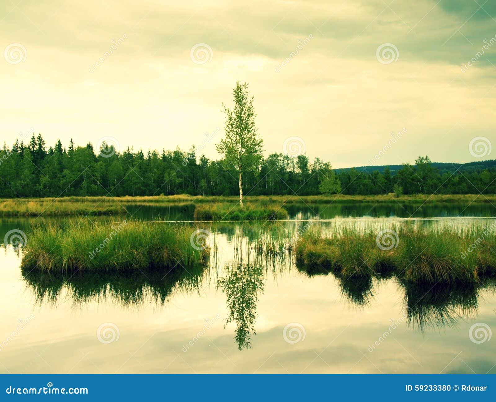 Niebla de la mañana en un lago en pantano Abedul verde fresco en centro en la pequeña isla