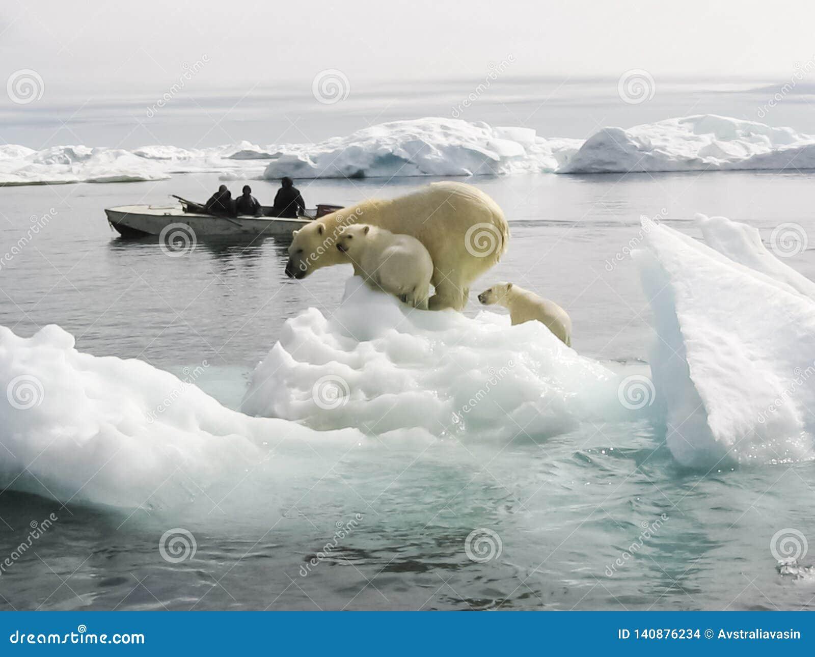 Niedźwiedź biegunowy arktycznego
