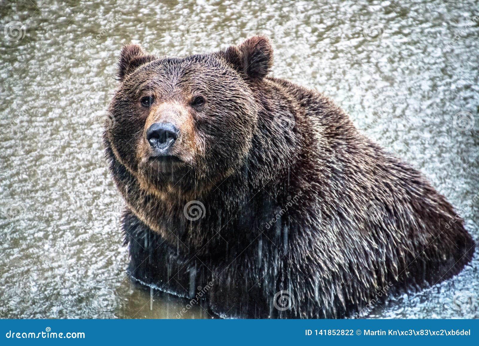 Niedźwiedź brunatny kąpać się w jeziorze podczas gdy padający