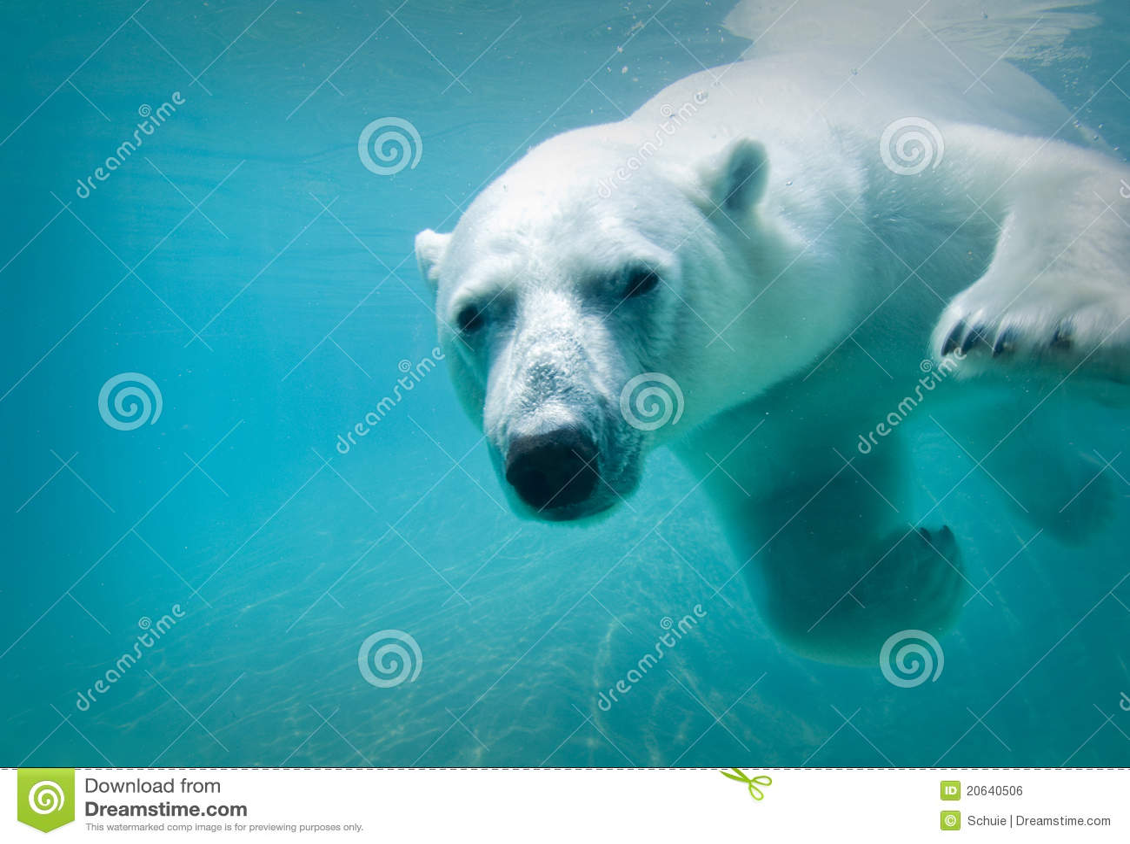 Niedźwiadkowy biegunowy