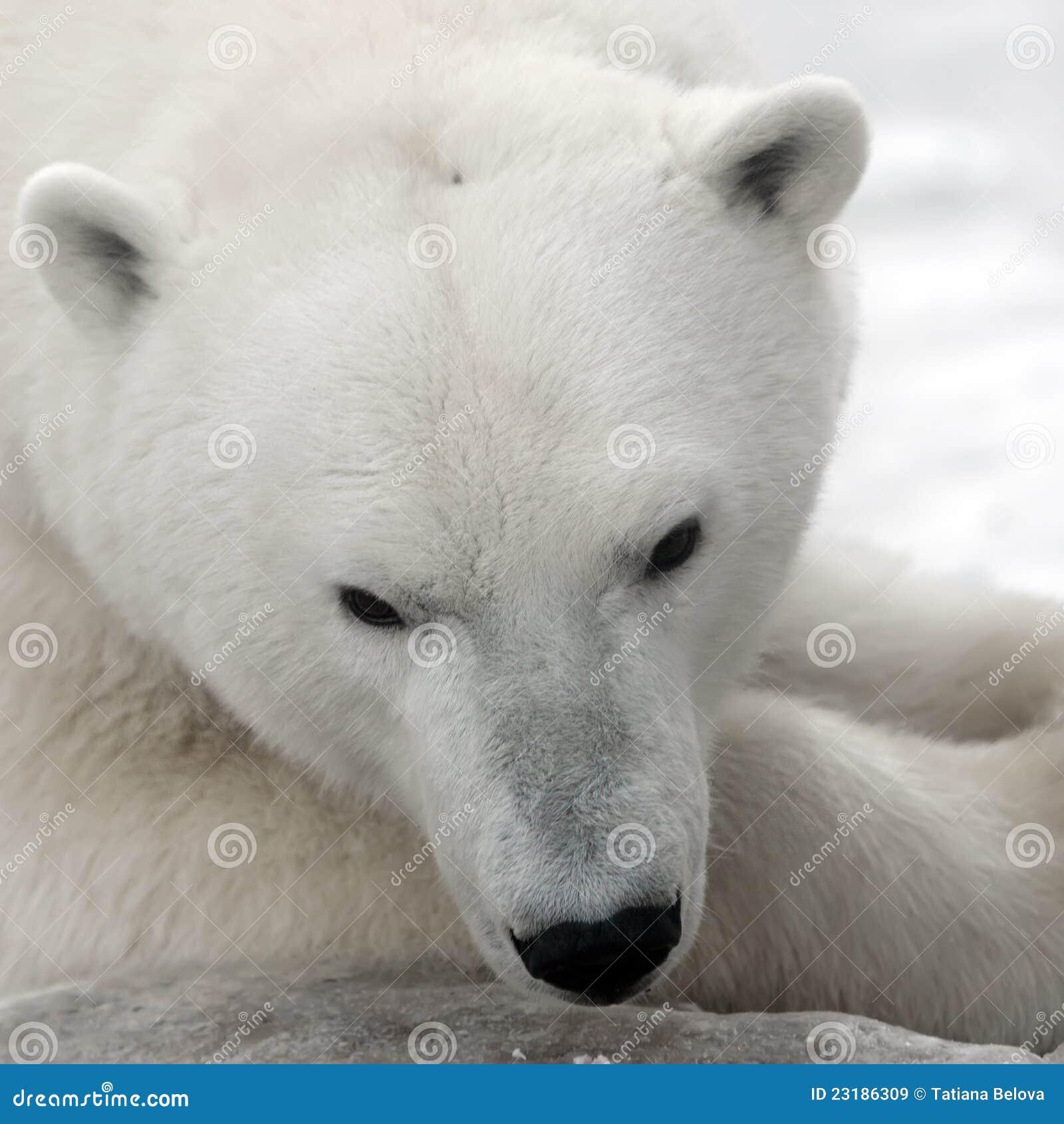 Niedźwiadkowy biegunowy biel