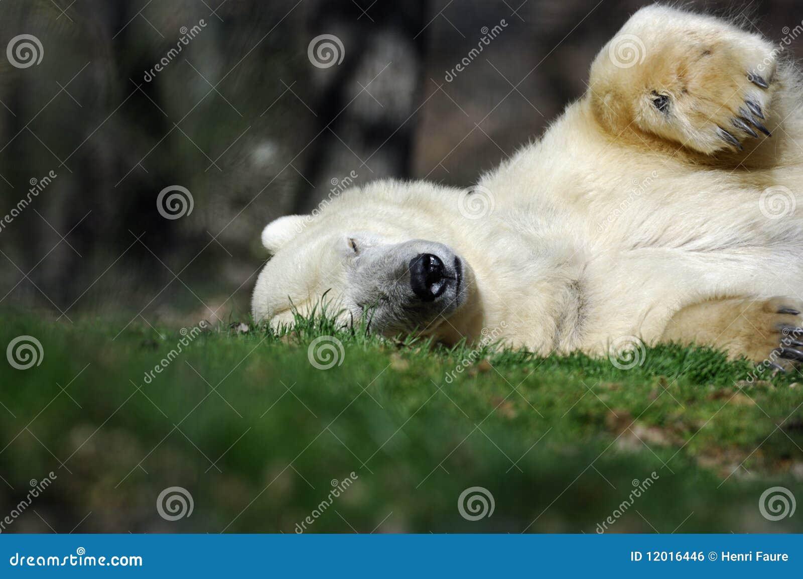 Niedźwiadkowy biegunowy dosypianie