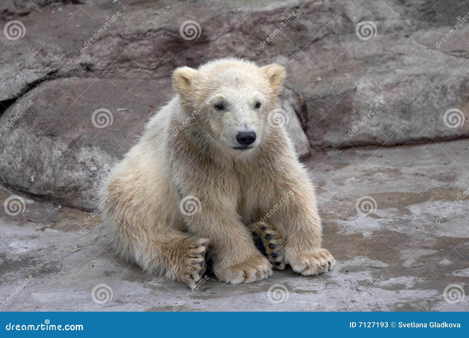 Niedźwiadkowy biegunowy siedzi małych kamienie