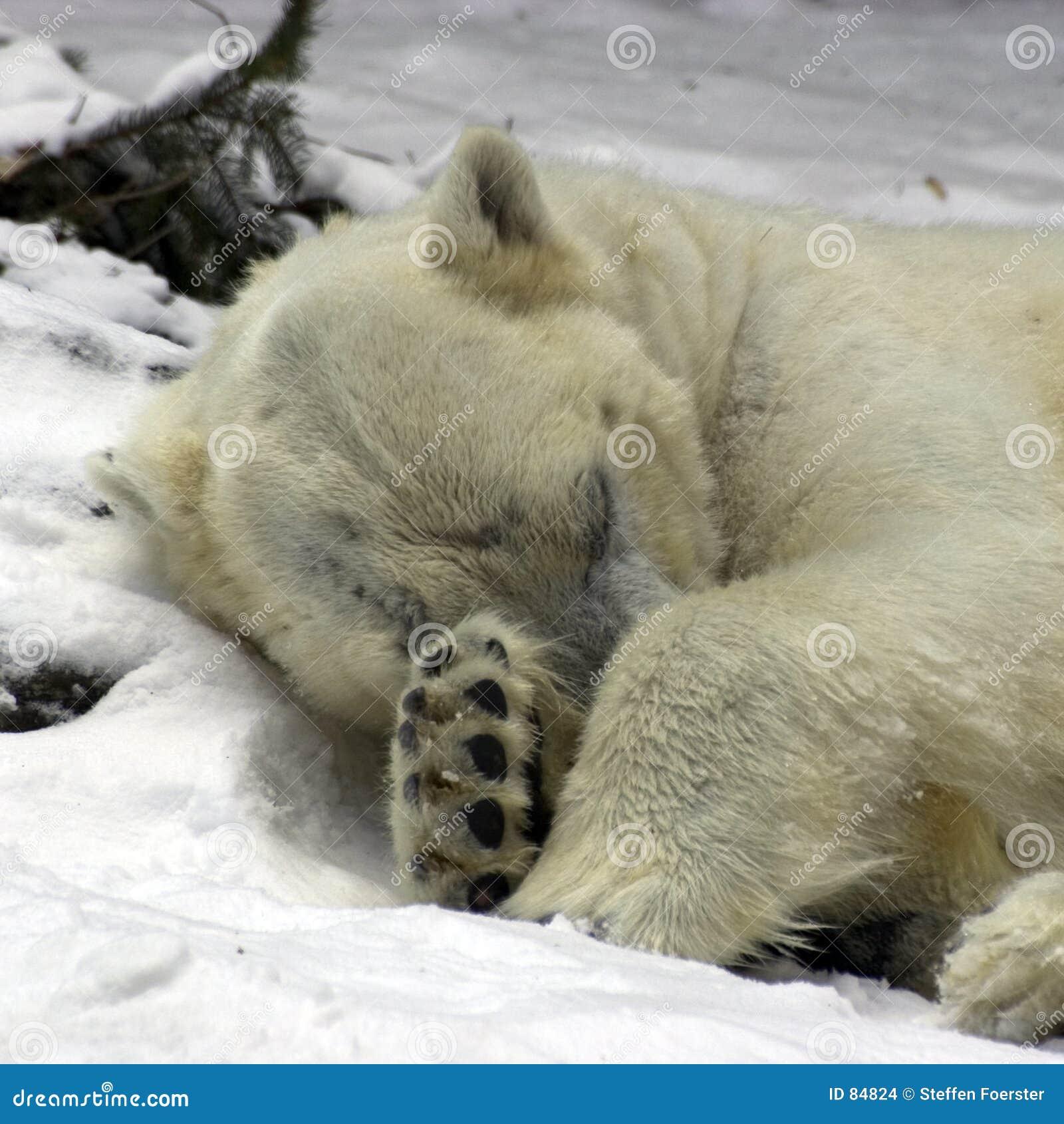 Niedźwiedź biegunowy