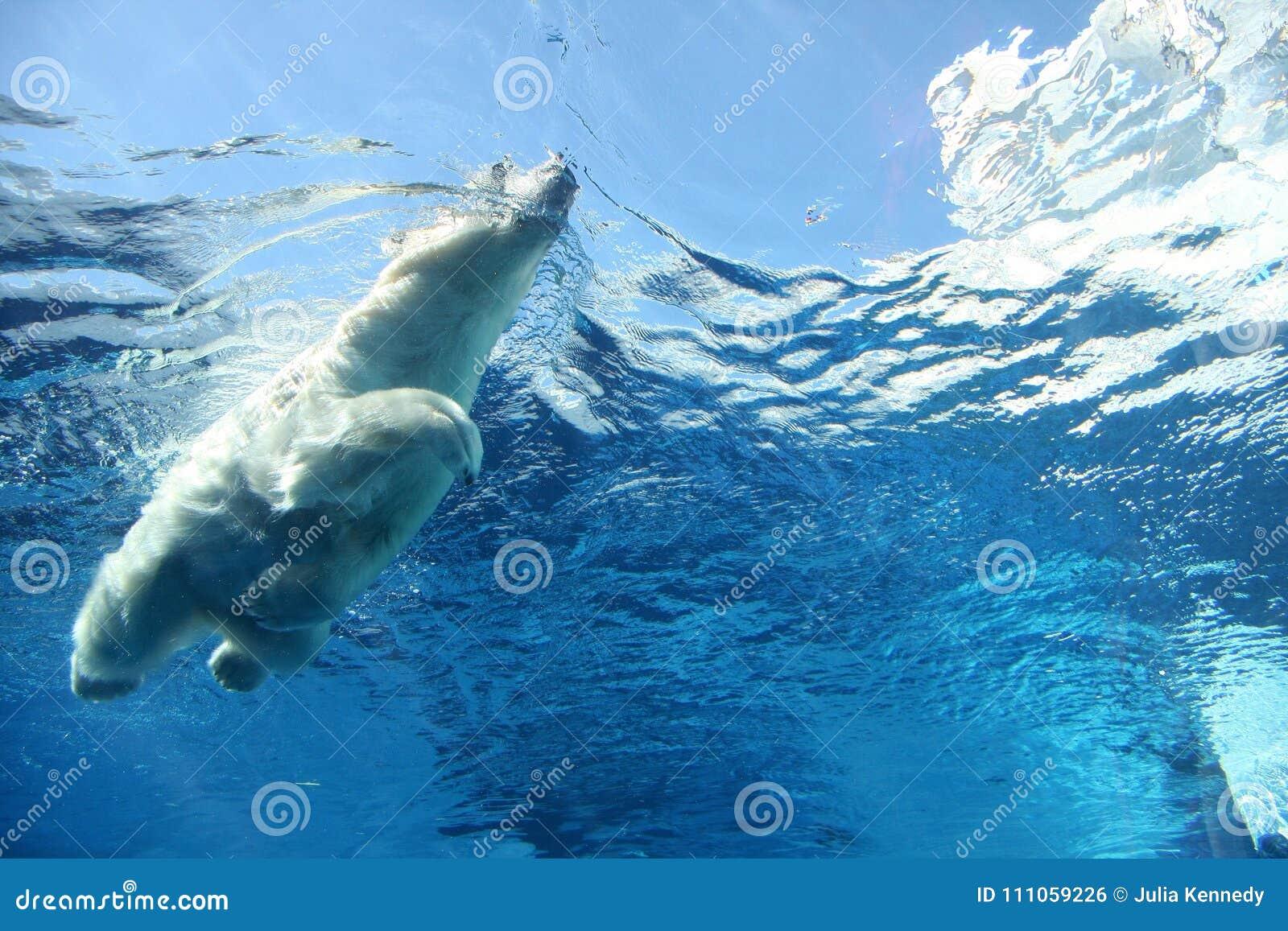 Niedźwiedź biegunowy opływa