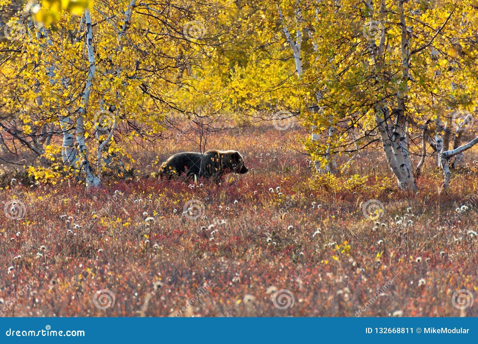 Niedźwiedź brunatny w jesieni łące