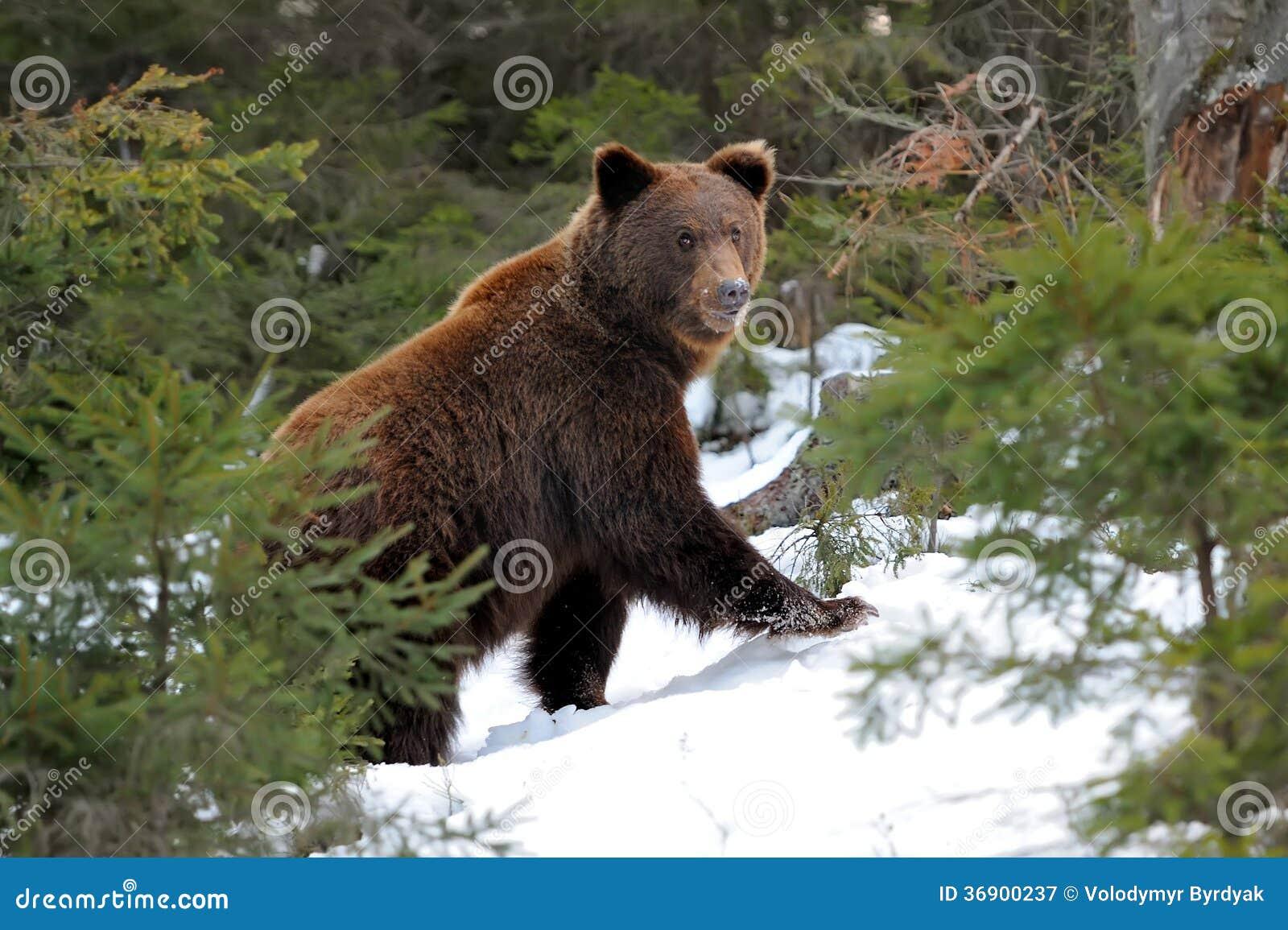 Niedźwiedź w zimie
