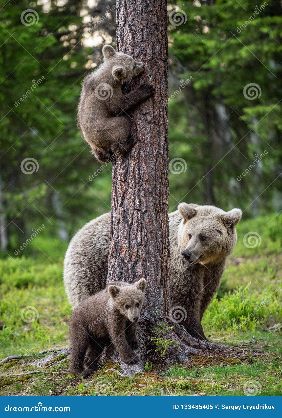 Niedźwiedzi brunatnych lisiątka wspinają się drzewa niedźwiedź i Cubs w lato lesie