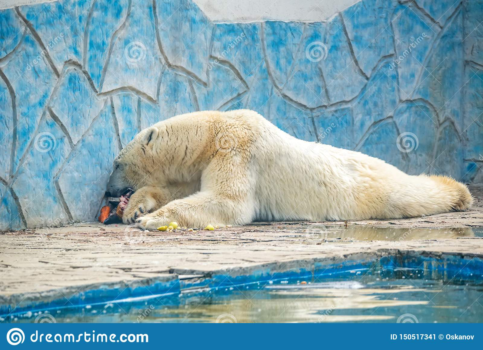 Niedźwiedzia polarnego lub Ursus maritimus w niewoli je mięso obok basenu