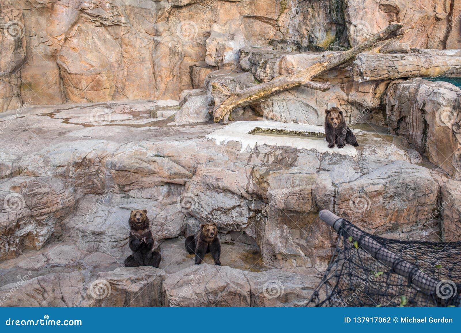 Niedźwiedzie przy Chimelong oceanu królestwa kurortem w Zhuhai, Chiny