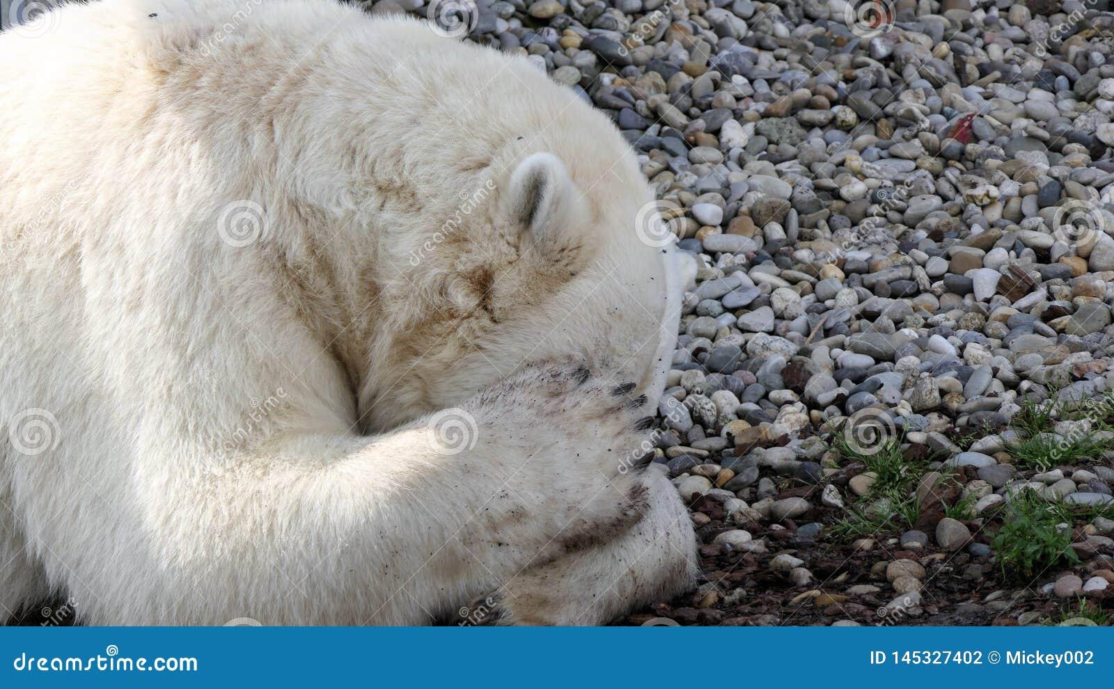 Nied?wiedzia polarnego spa?
