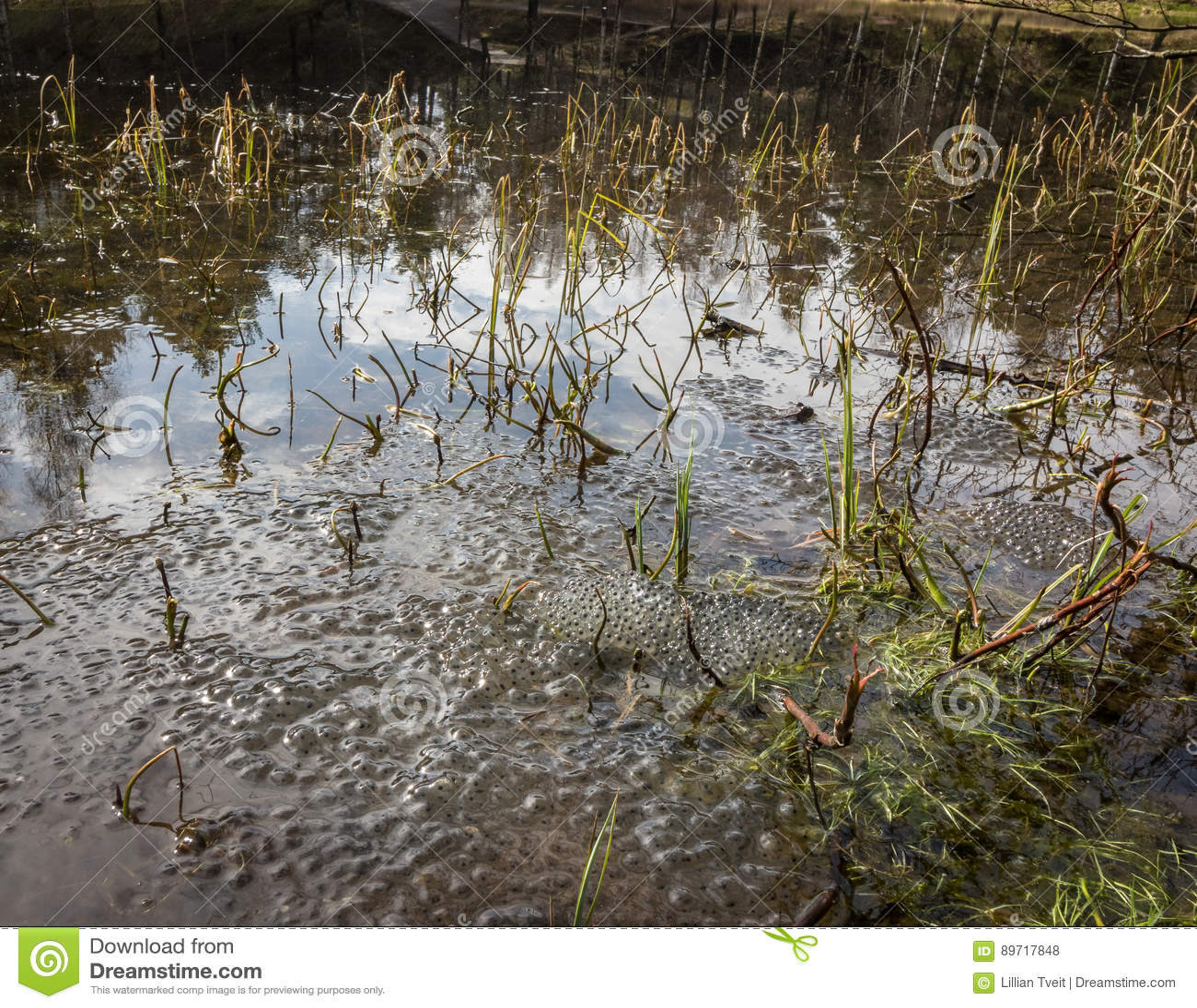 Niedawno kłaść żab jajka od Europejskiej pospolitej brown żaby, Rana temporaria w żaba stawie w Kristiansand Norwegia,
