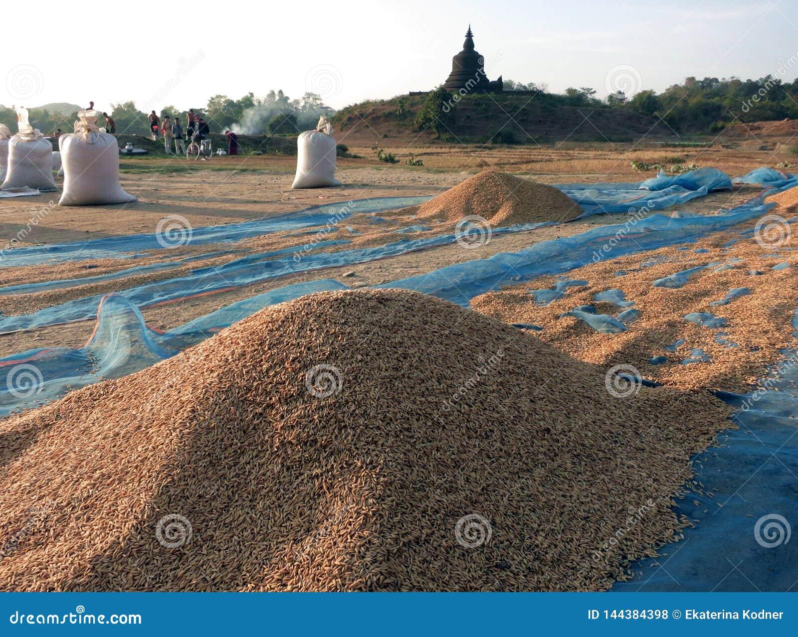 Niedawno zbierająca ryżowa osuszka w słońcu