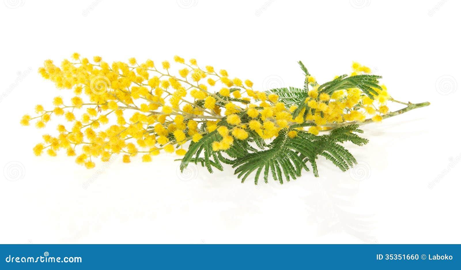 niederlassung der mimose stockfoto bild von feiertag 35351660. Black Bedroom Furniture Sets. Home Design Ideas