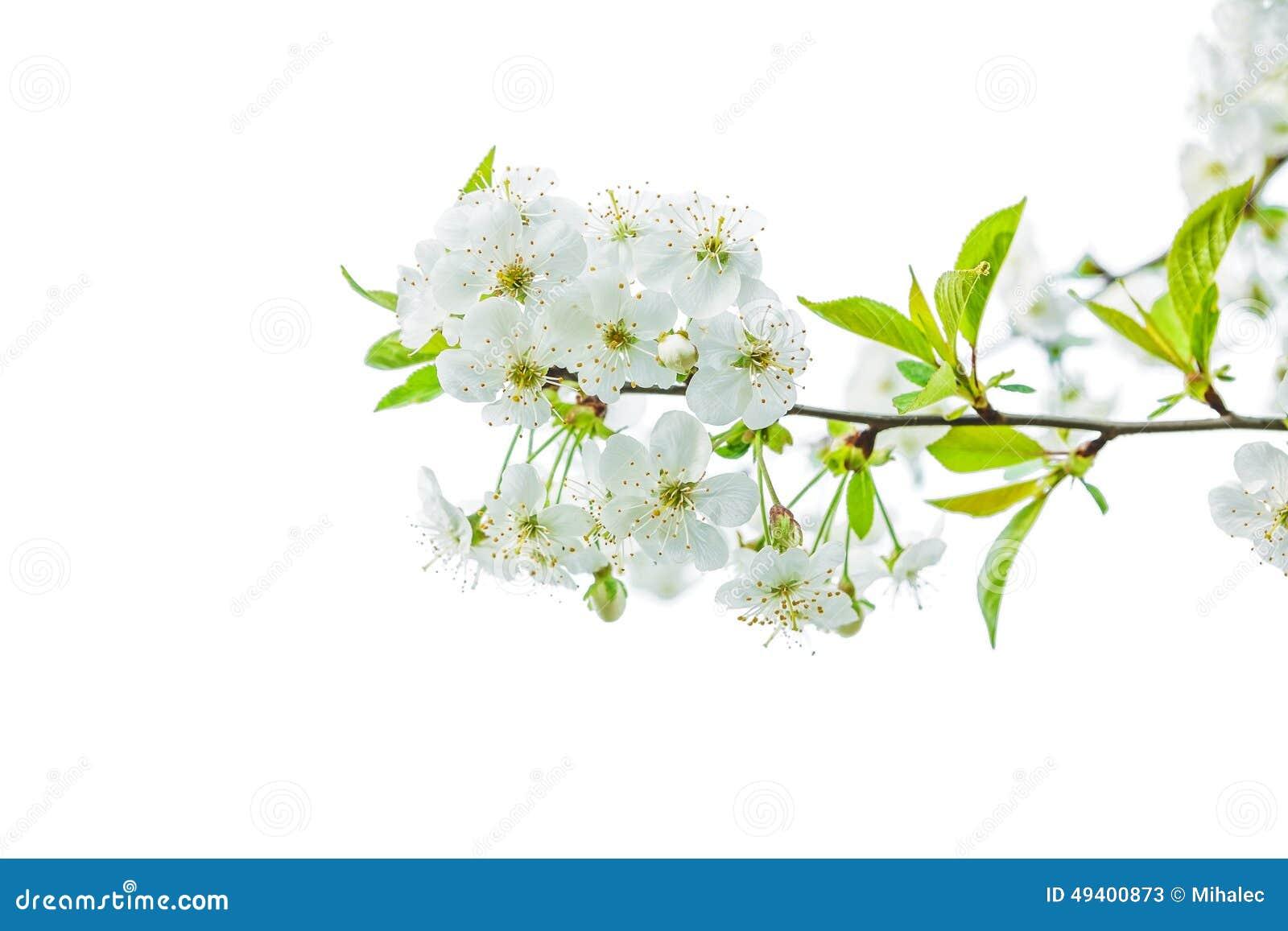 Download Niederlassung Des Blühenden Kirschbaums Isolayed Auf Weiß Stockbild - Bild von kopf, sommer: 49400873