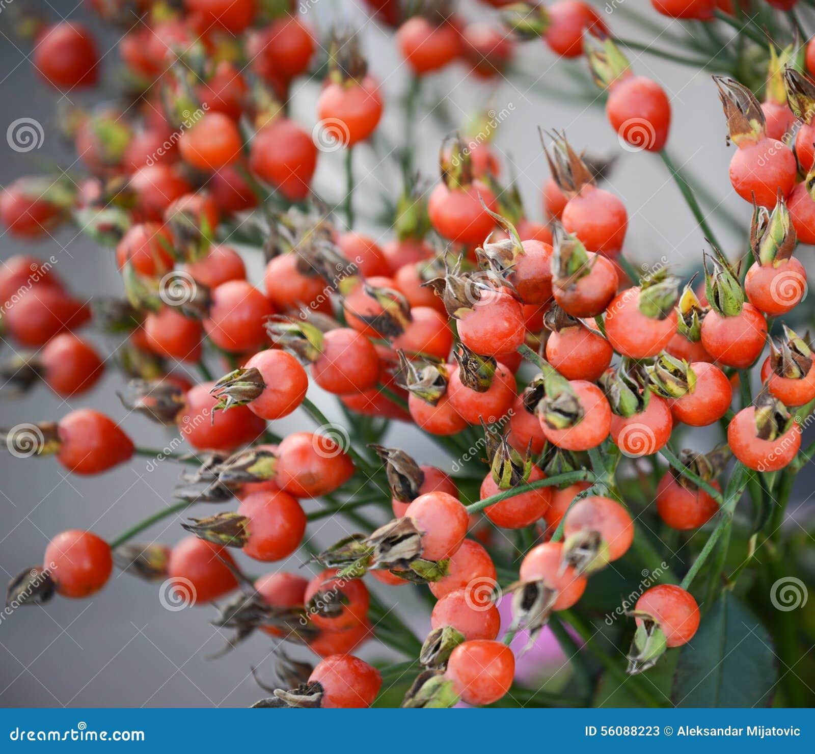 Niederlassung des Granatapfelbaums