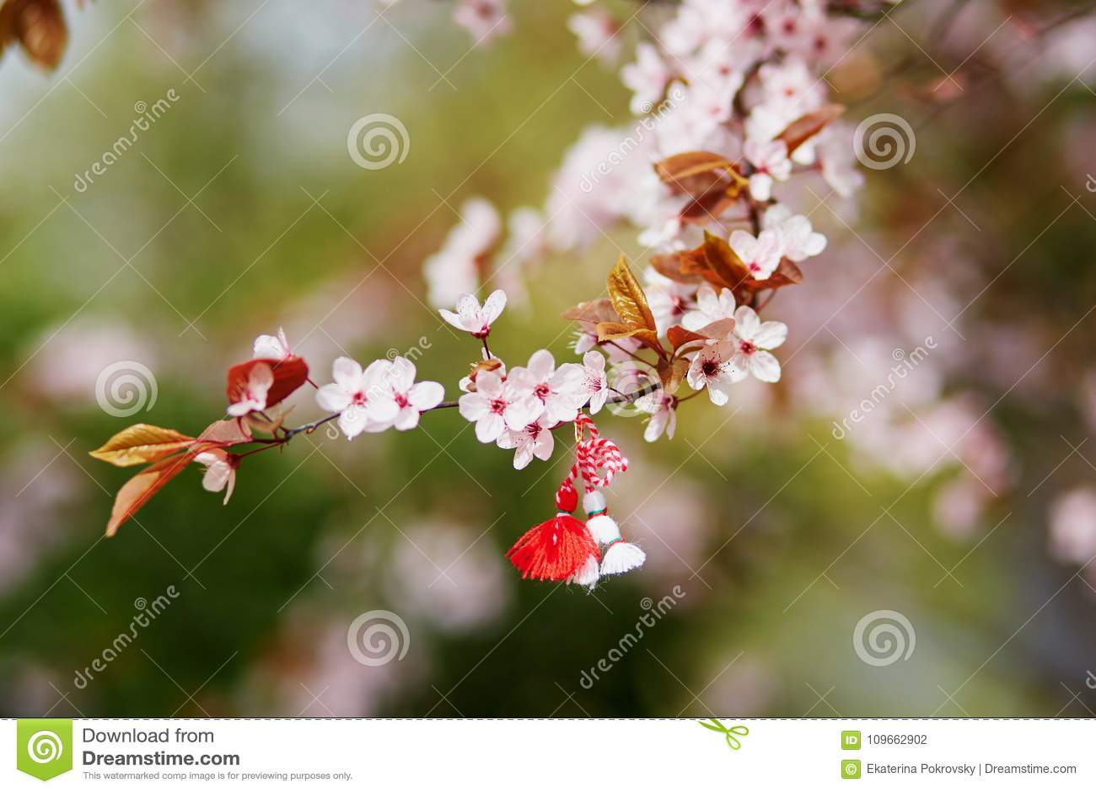 Niederlassung des Kirschbaums mit martisor, traditionelles Symbol des ersten Frühlingstages