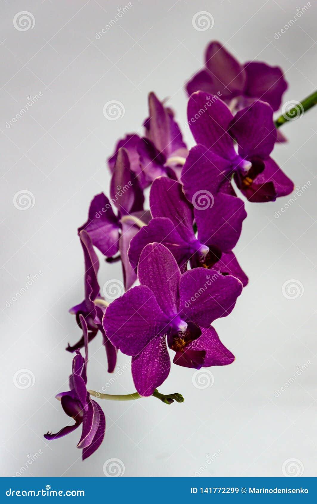 Niederlassung schönen dunklen purpurroten Orchideenblume Phalaenopsis, Schicksal bekannt als die Motten-Orchidee oder Phal, auf w
