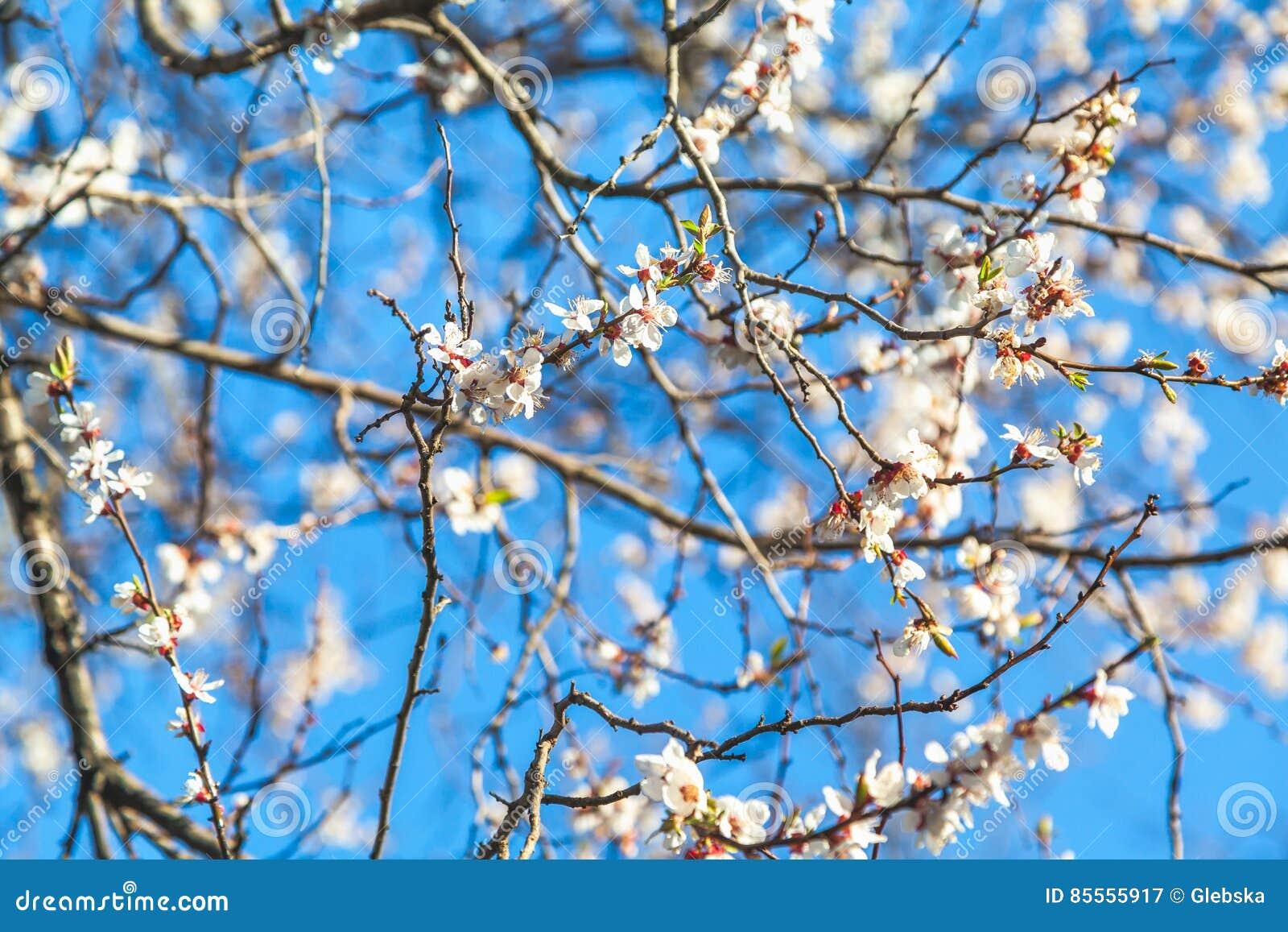 Niederlassung von Kirschblüten gegen blauen Himmel