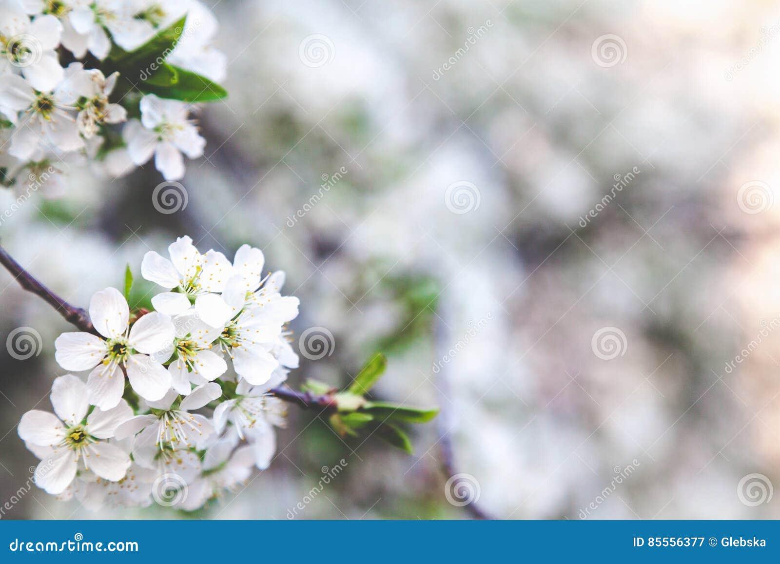 Niederlassung von weißen Kirschblüten