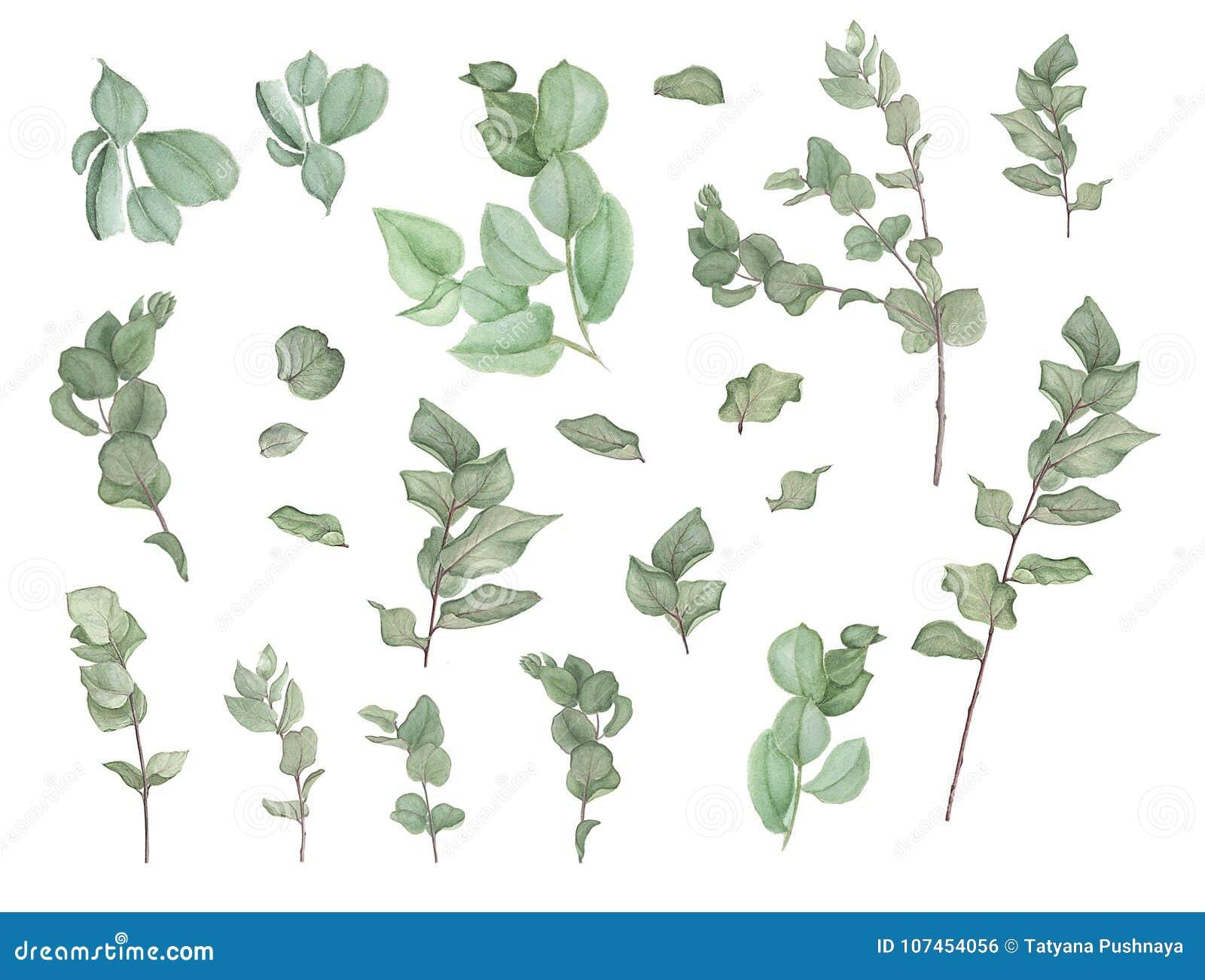 Niederlassungen des Eukalyptus, Aquarellmalerei