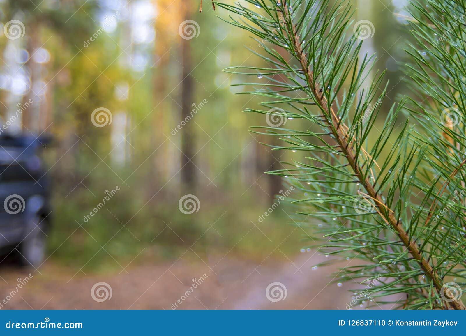 Niederlassungsgrüner Koniferenbaum mit Regentropfen auf unscharfem Hintergrund des Herbstwaldes