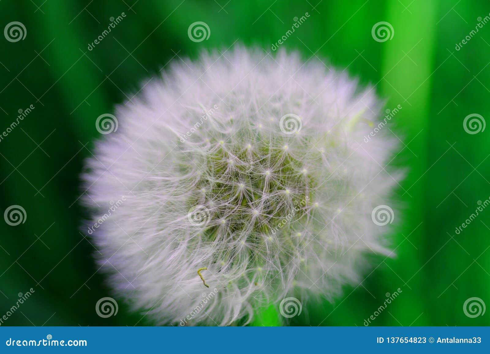 Niektóre widzią świrzepy niektóre widzią życzenie, dandelion w polu