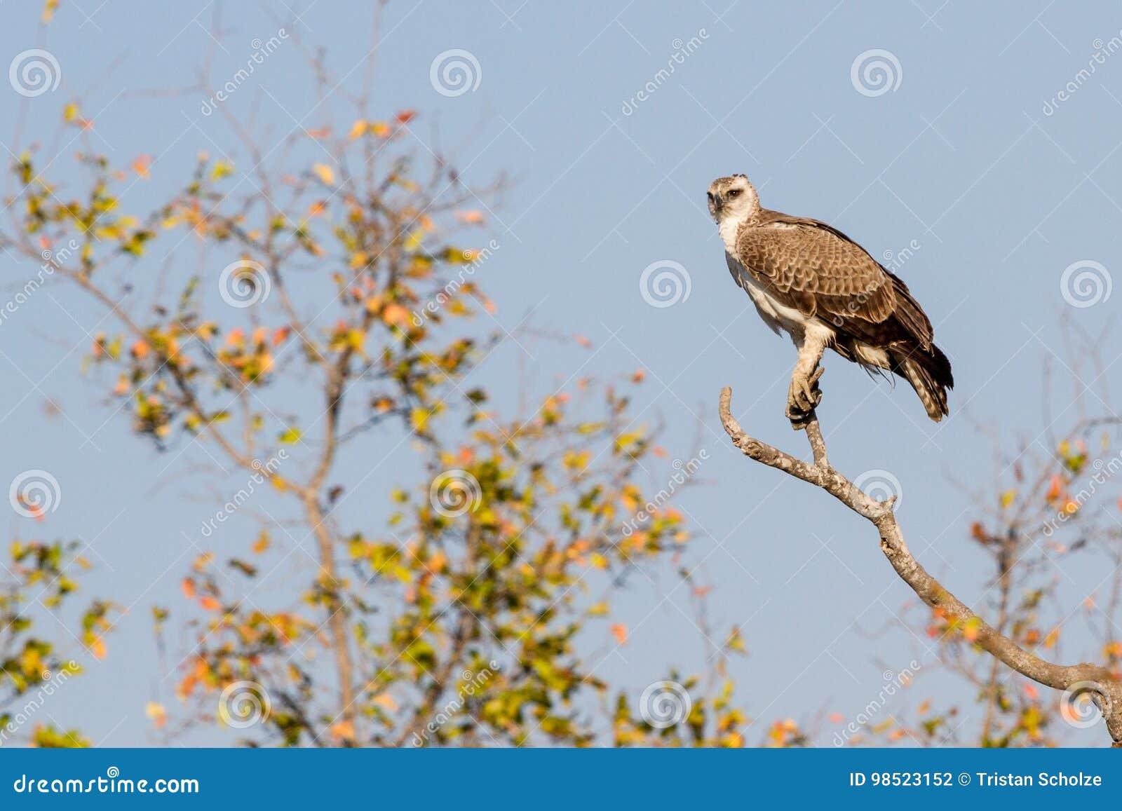 Nieletni Wojenny Eagle przy Treetop