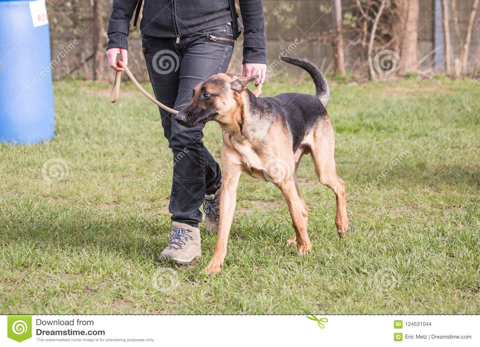 Niemiec shephed dorosłego pies