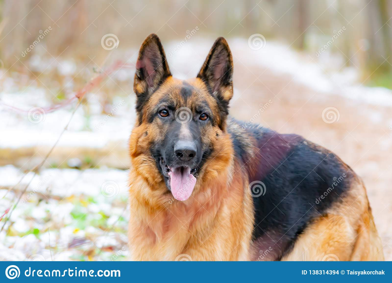 Niemiecka baca Młody energiczny pies chodzi w lesie