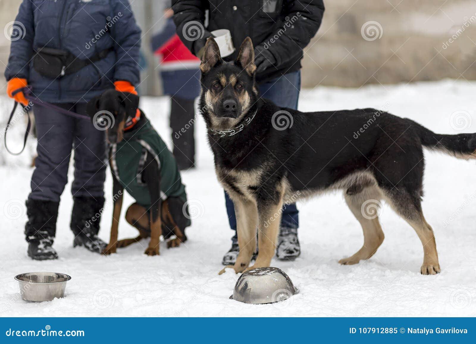 Niemiecki bacy, strażowego i milicyjnego pies w zimie,