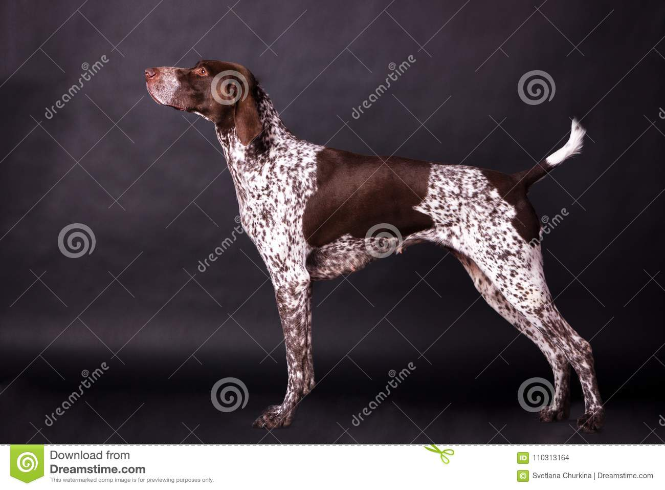 Niemiecki pointer shorthaired