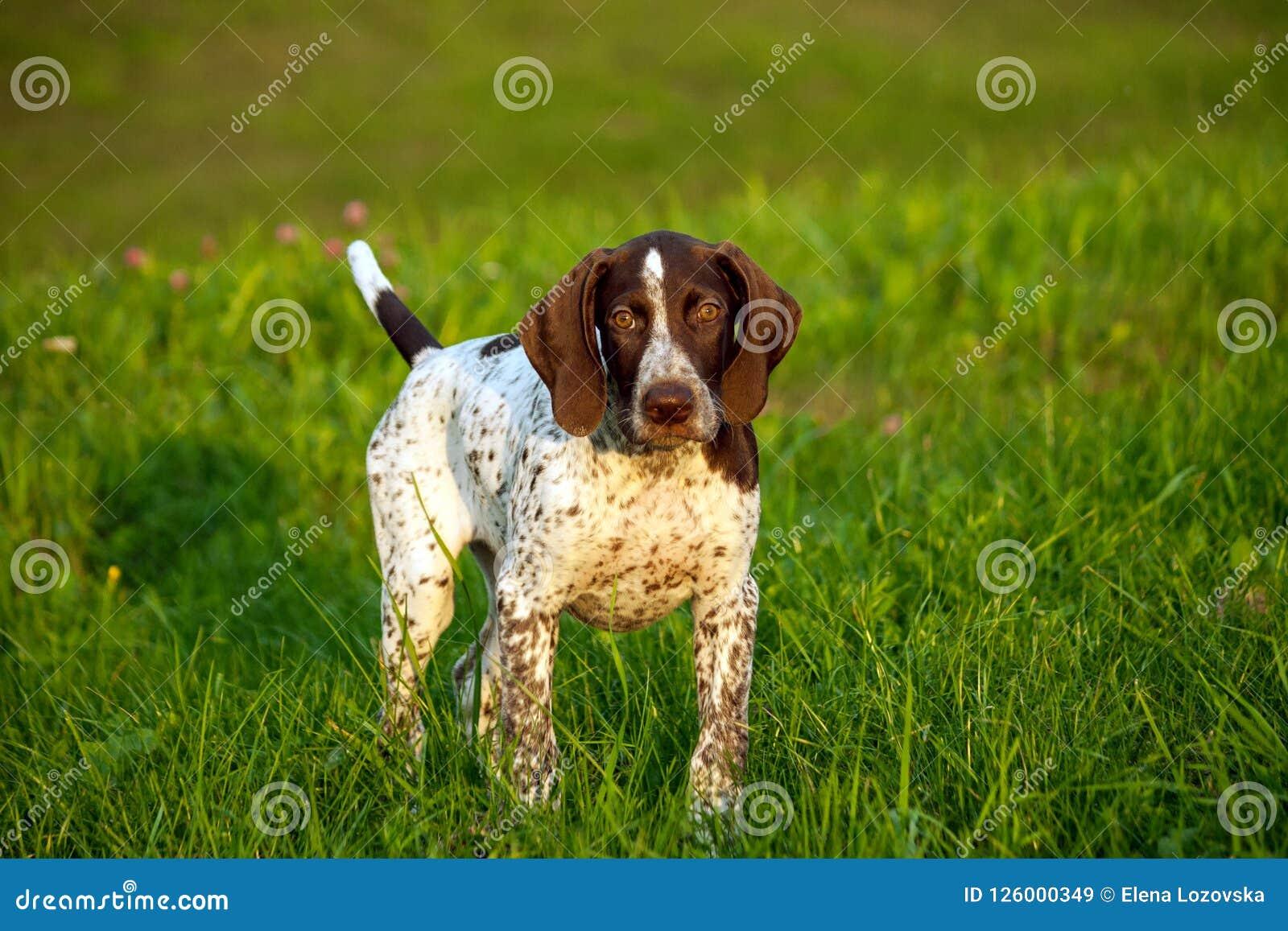 Niemiecki shorthaired pointer, niemiecki kurtshaar jeden brown łaciasty szczeniak