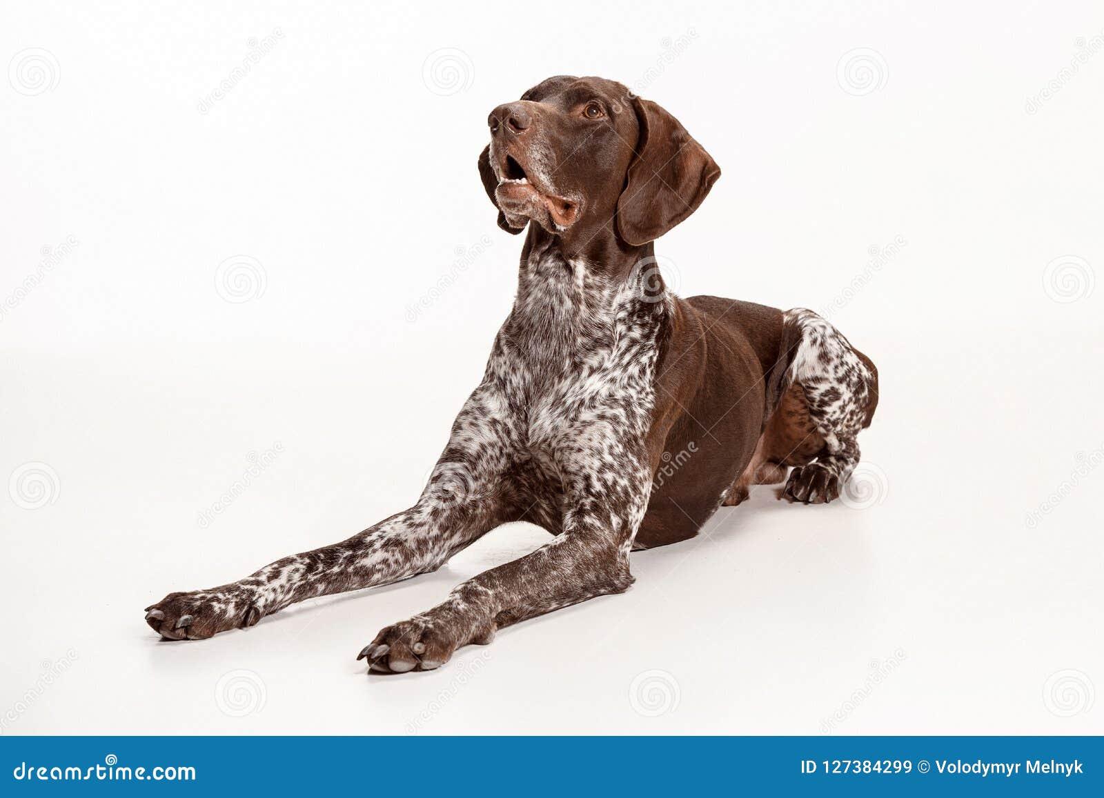 Niemiecki Shorthaired pointer - Kurzhaar szczeniaka pies odizolowywający na białym tle