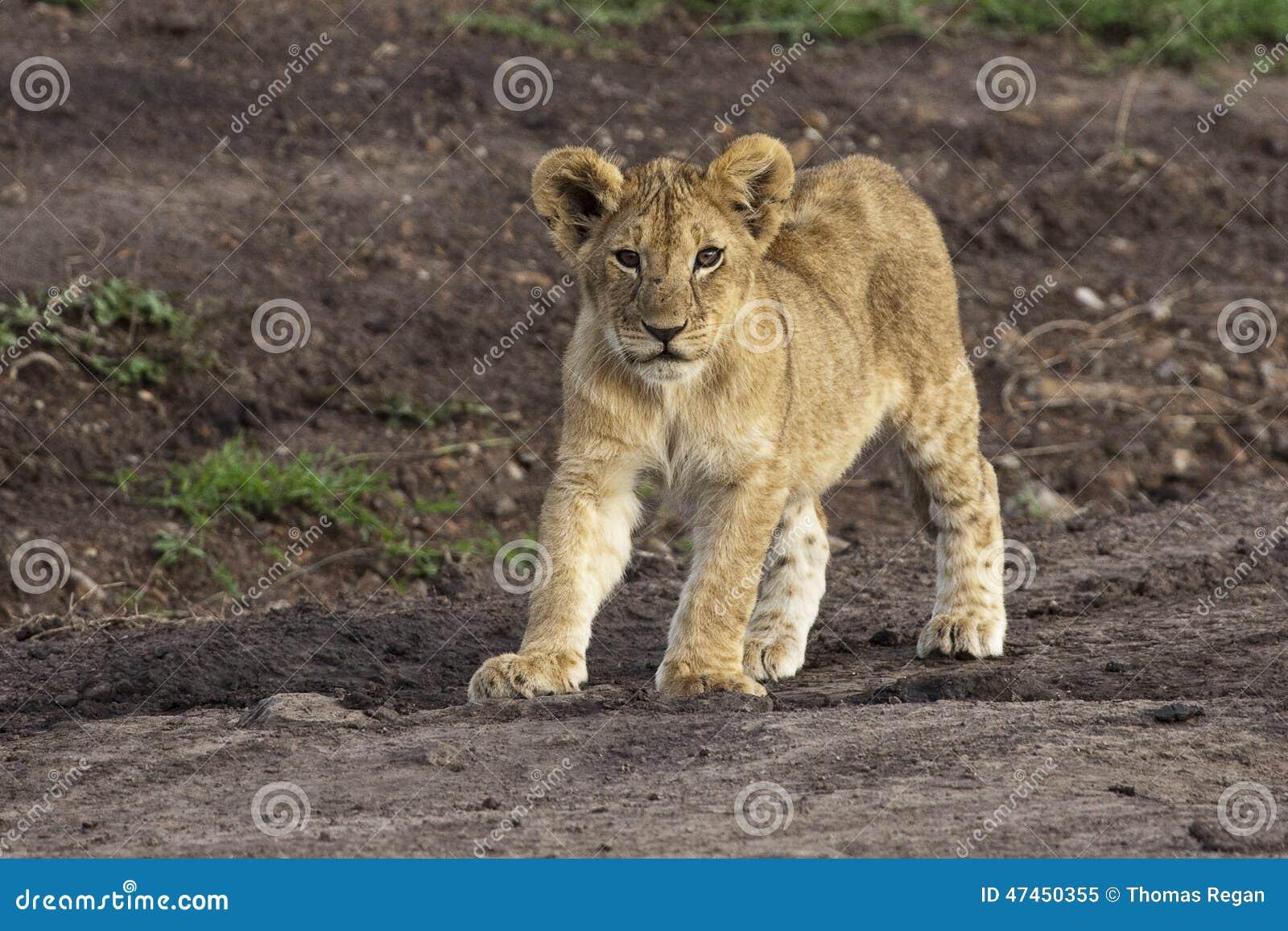 Niemowlę afrykańska lew