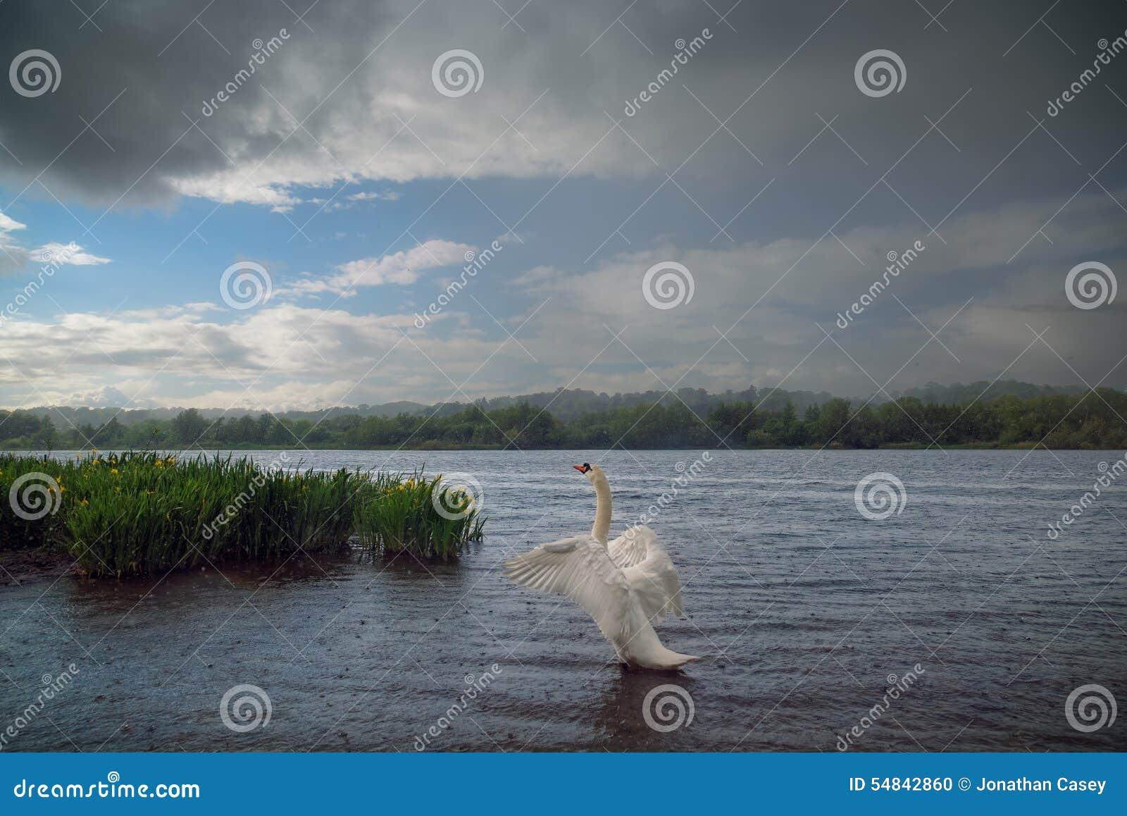 Niemy łabędź na jeziorze w deszczu