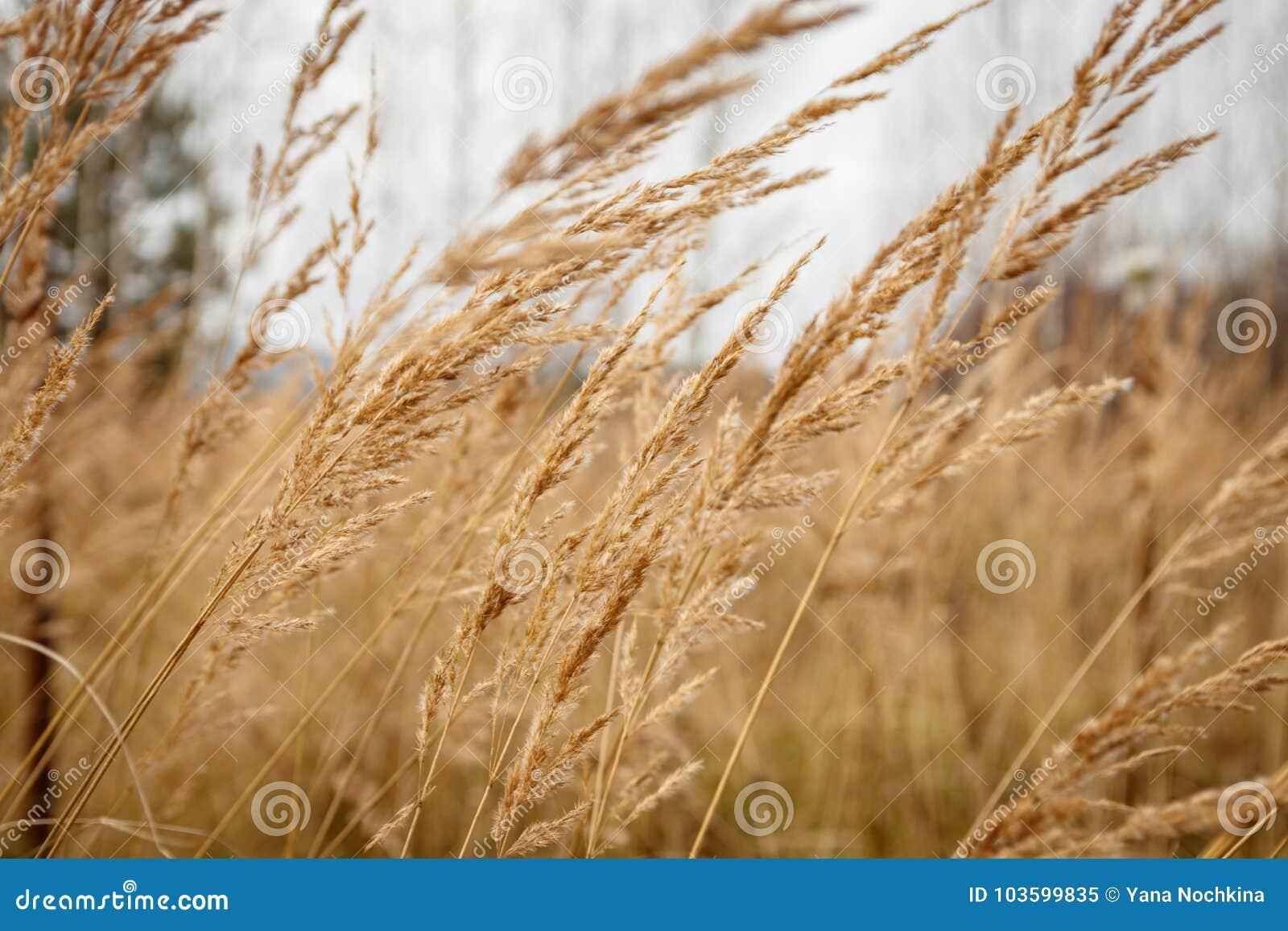Nieociosany jesieni trawy chlanie od wiatru