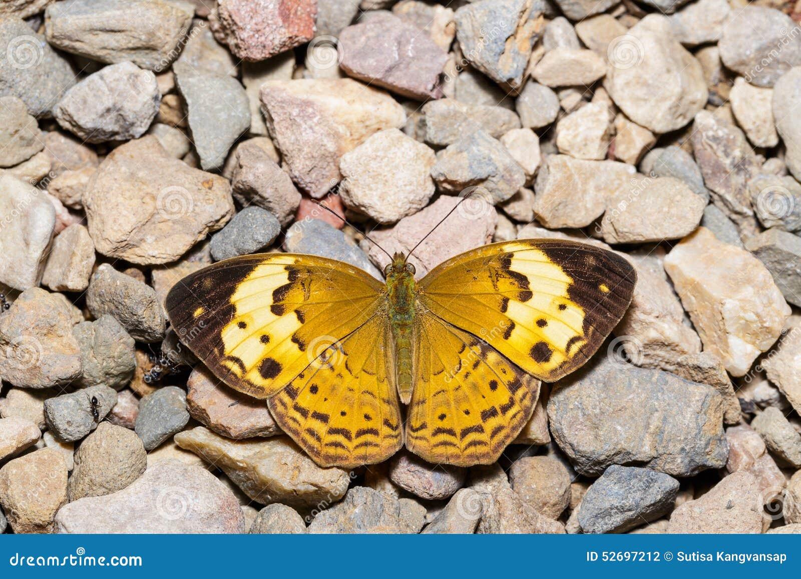 Nieociosany motyl
