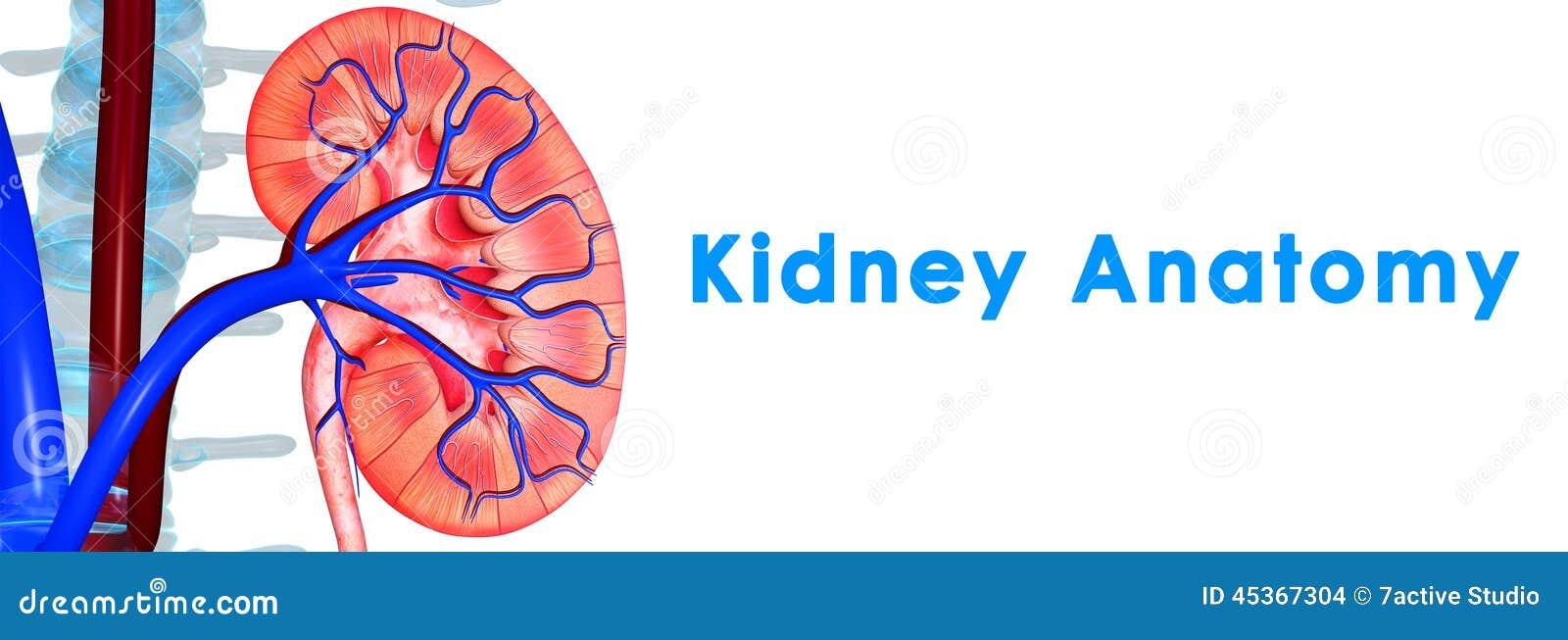 Nierenanatomie stock illustratie. Illustratie bestaande uit voorwerp ...