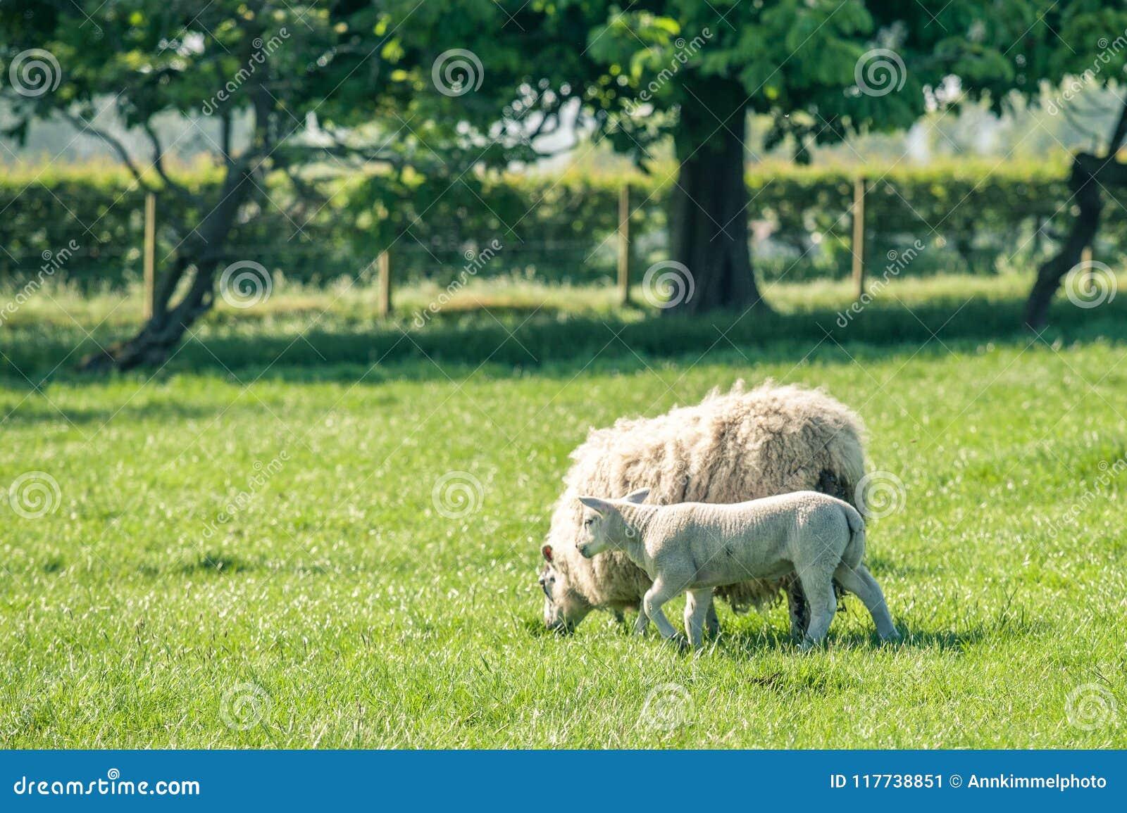 Nieuw - geboren lam met een moederschaap die zich op de verse groene lente bevinden