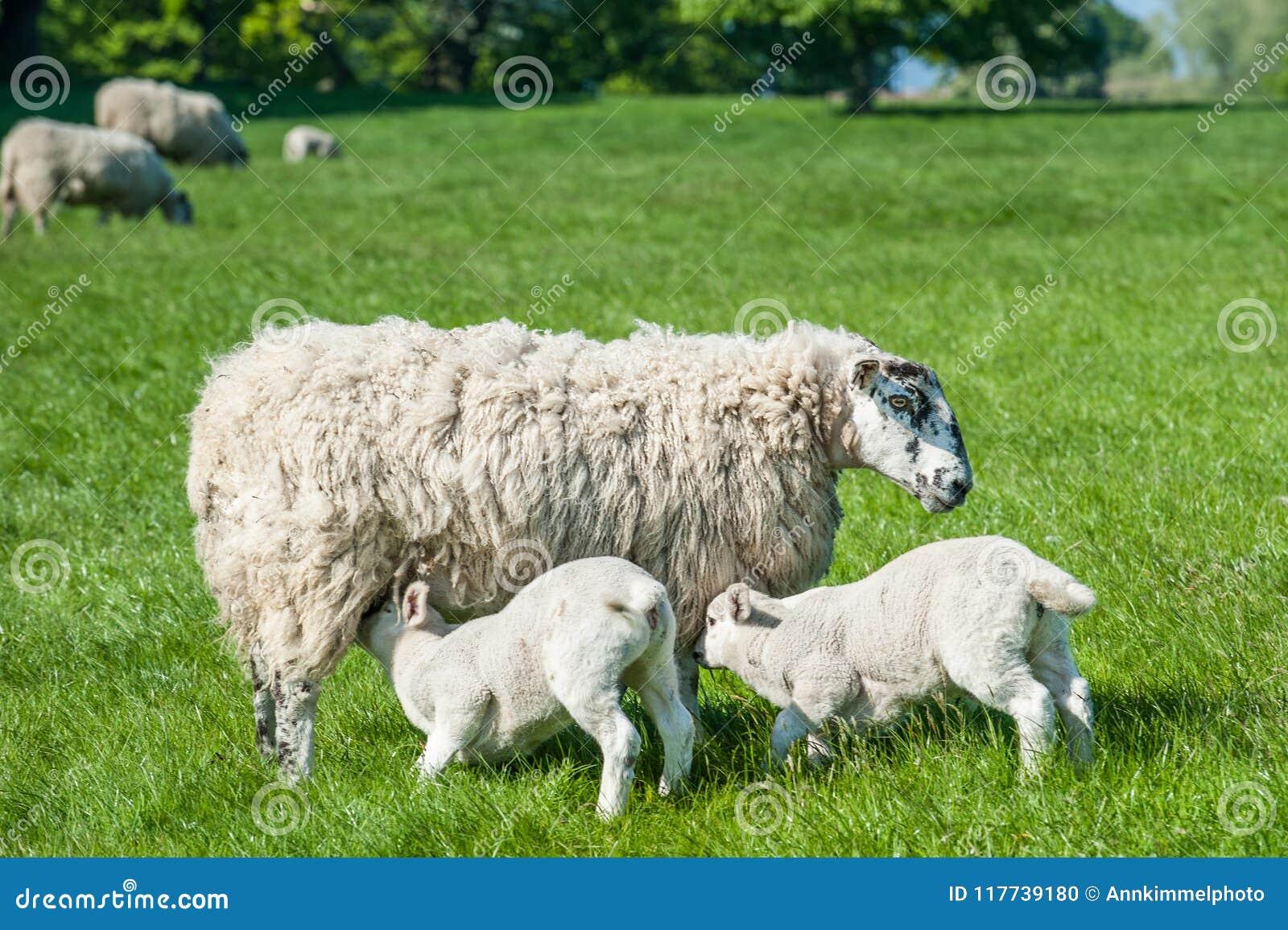 Nieuw - geboren lammeren die hun moeder sackling die zich op verse groene spr bevinden