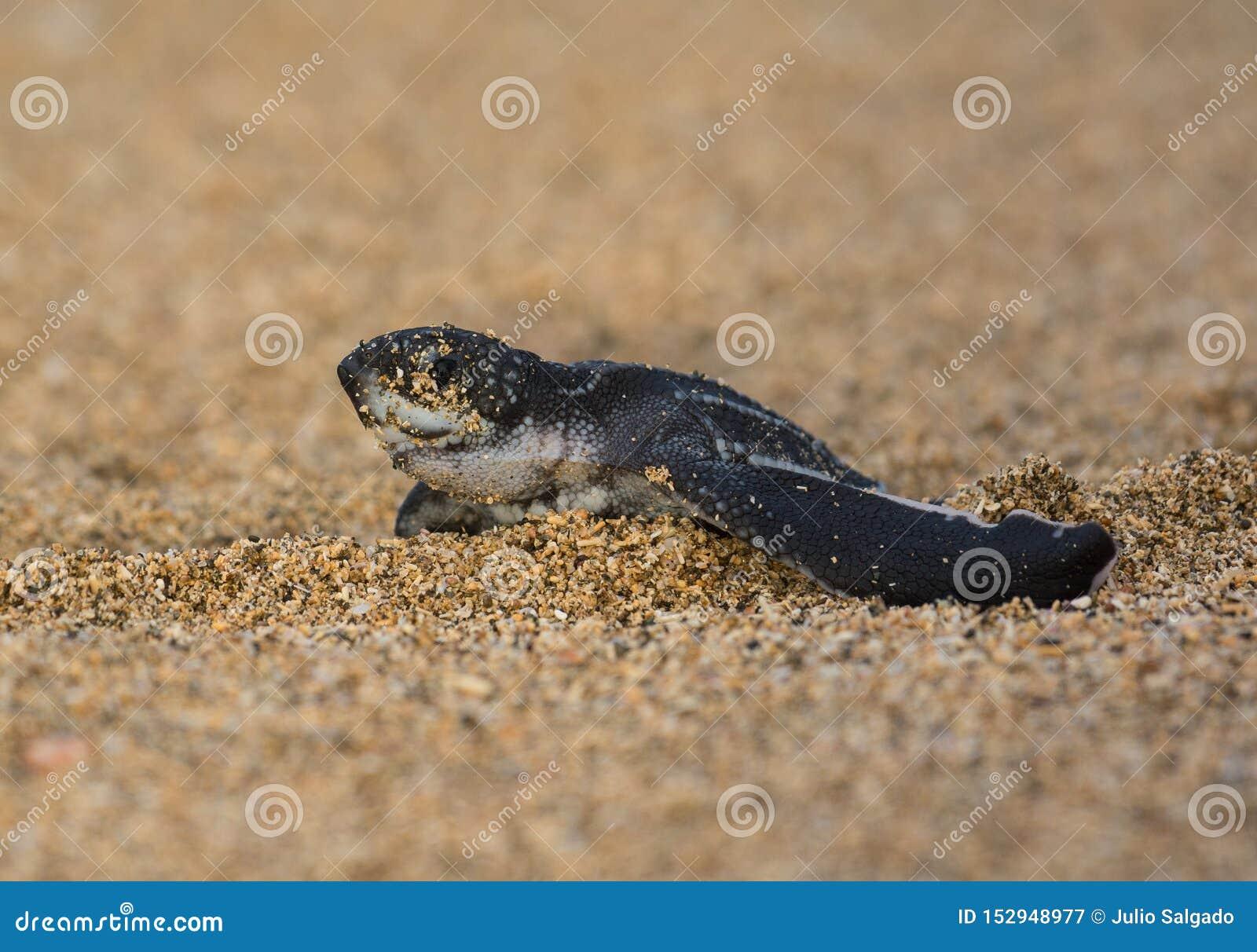 Nieuw - geboren Leatherback-Zeeschildpad