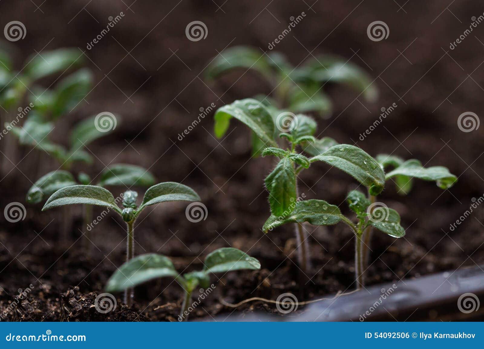 Nieuwe groene zaailingen