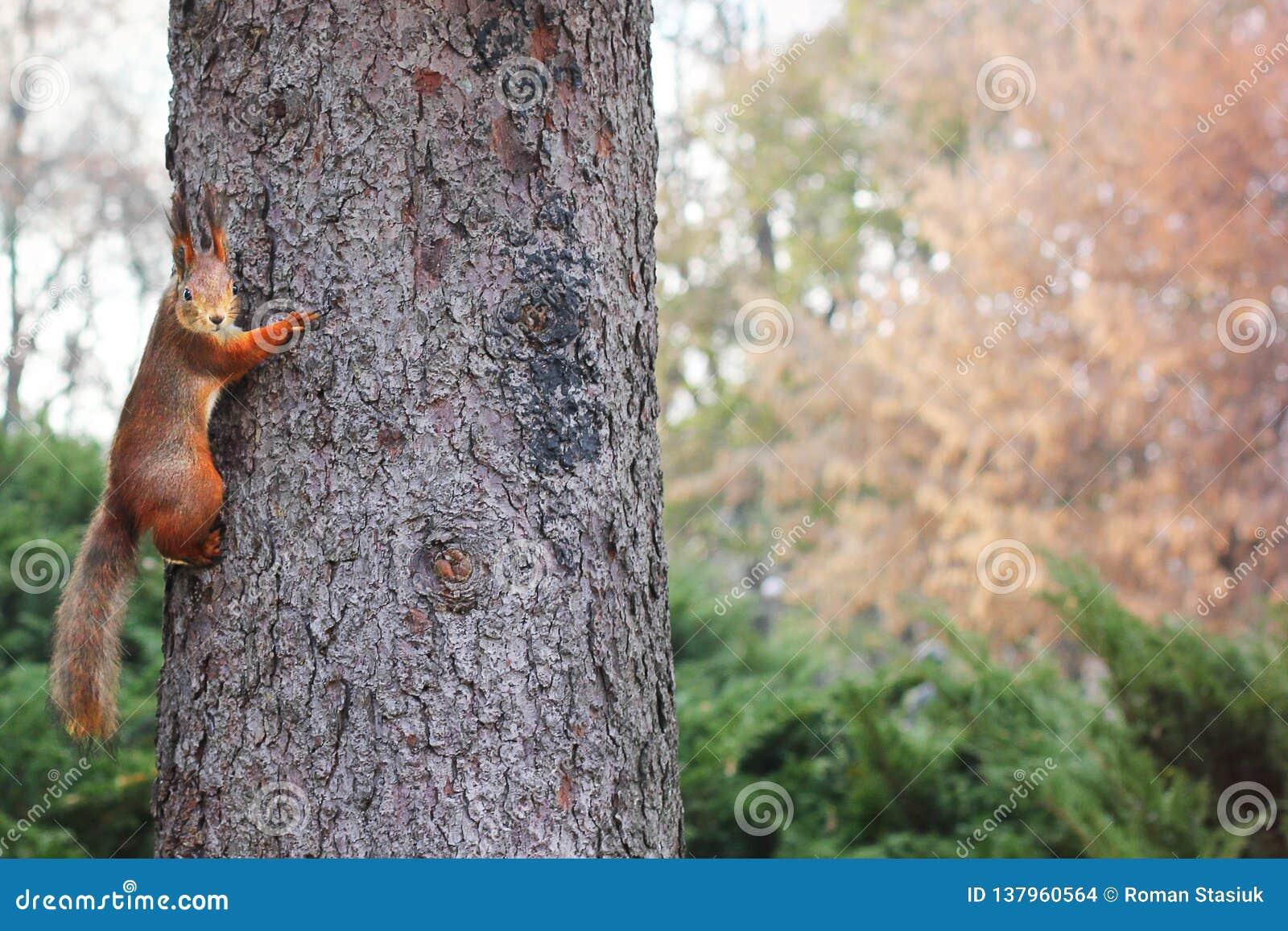 Nieuwsgierige Eekhoorn Rode Eekhoorn Eekhoorn De herfst De winter Forest Beautiful-eekhoorn