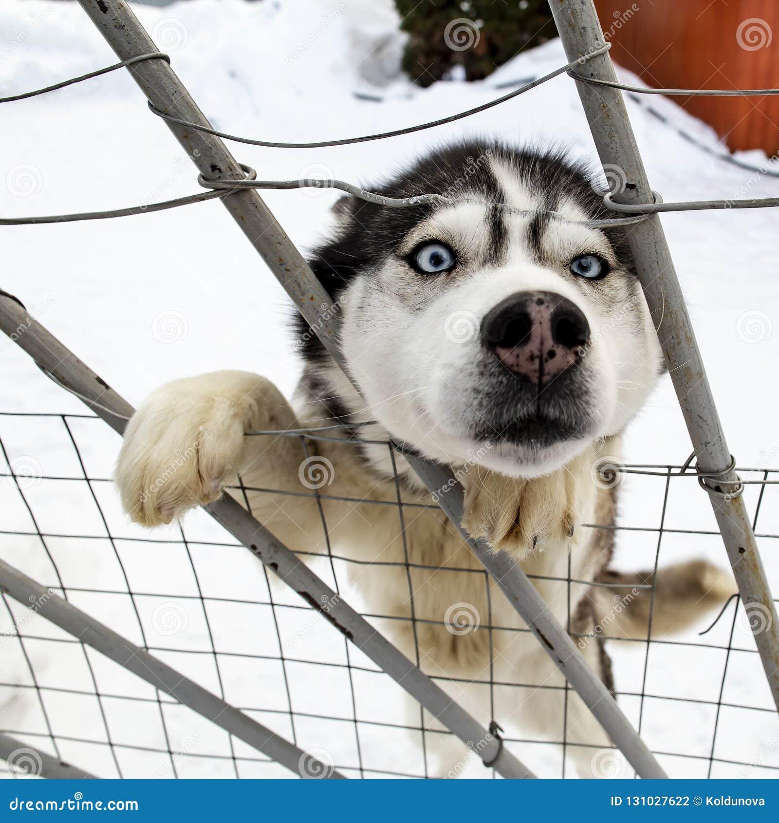 Nieuwsgierige hond Siberische Schor omhoog geworden op zijn achterste benen en geplakte I