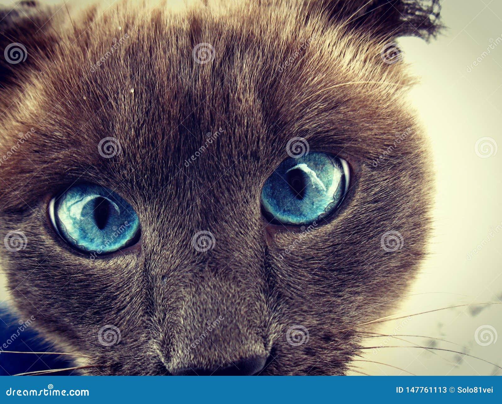 Nieuwsgierige siamese kat