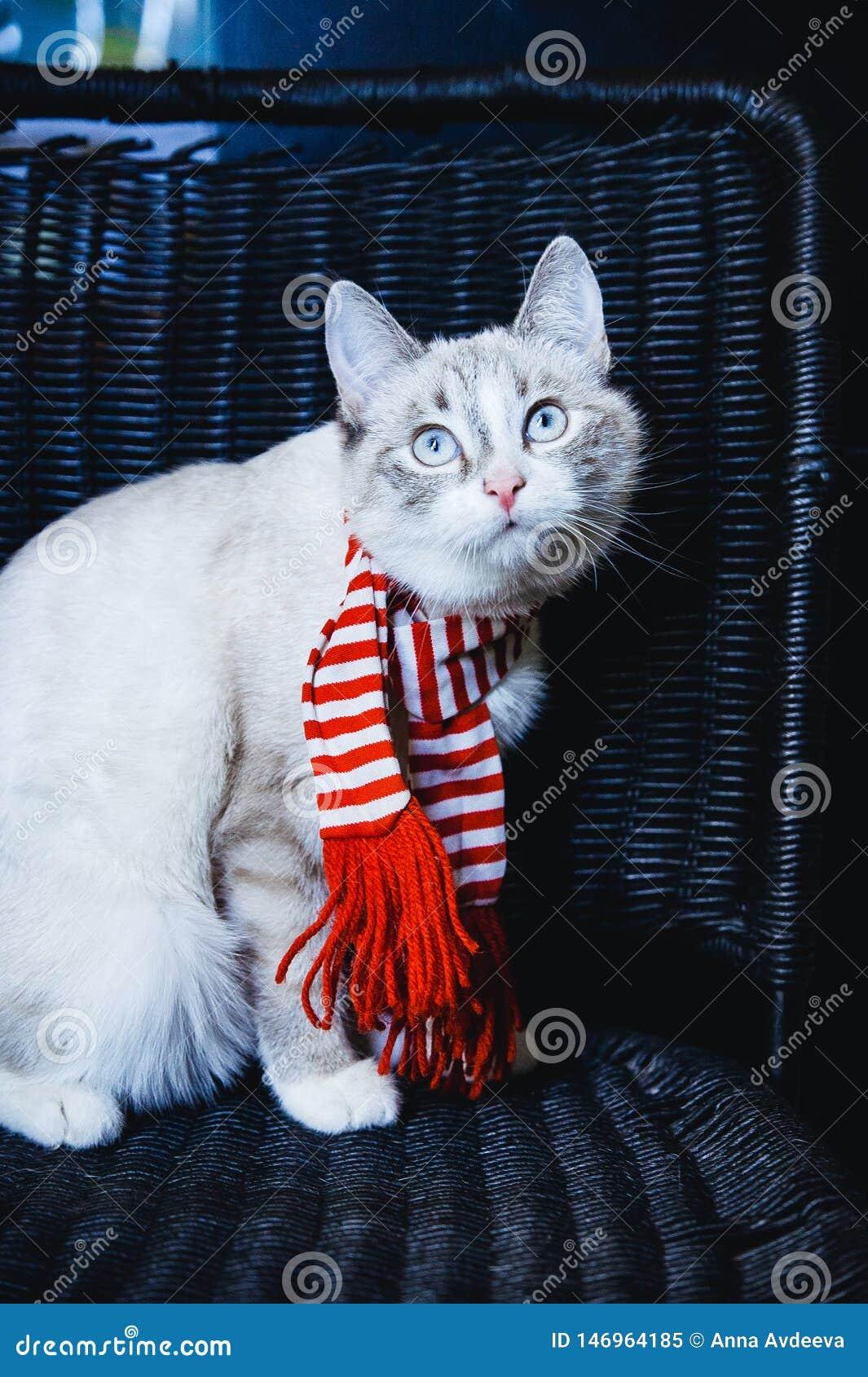 Nieuwsgierige witte kat in gestreepte sjaalzitting op een donkere stoel