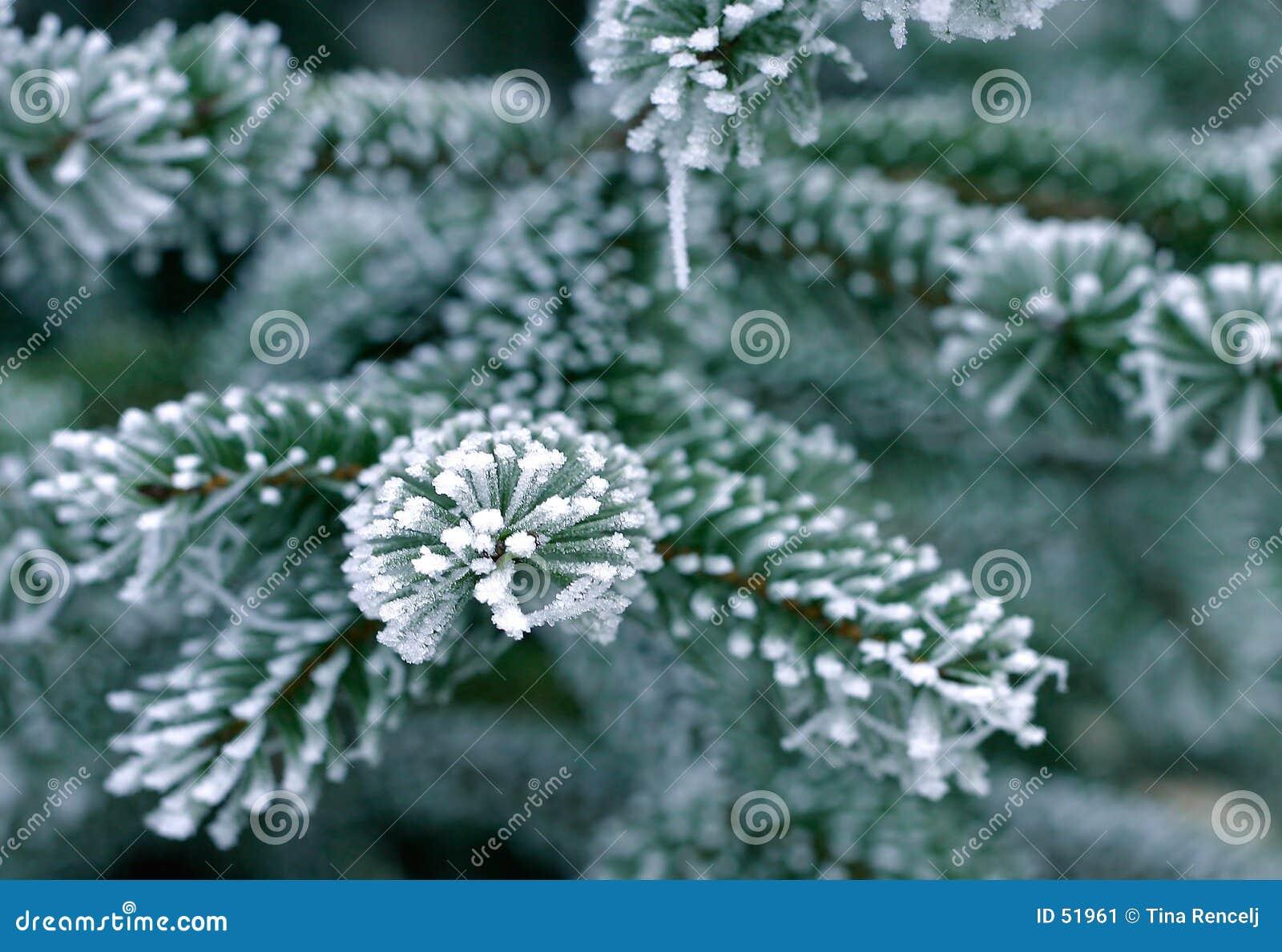Nieve en árbol de pino