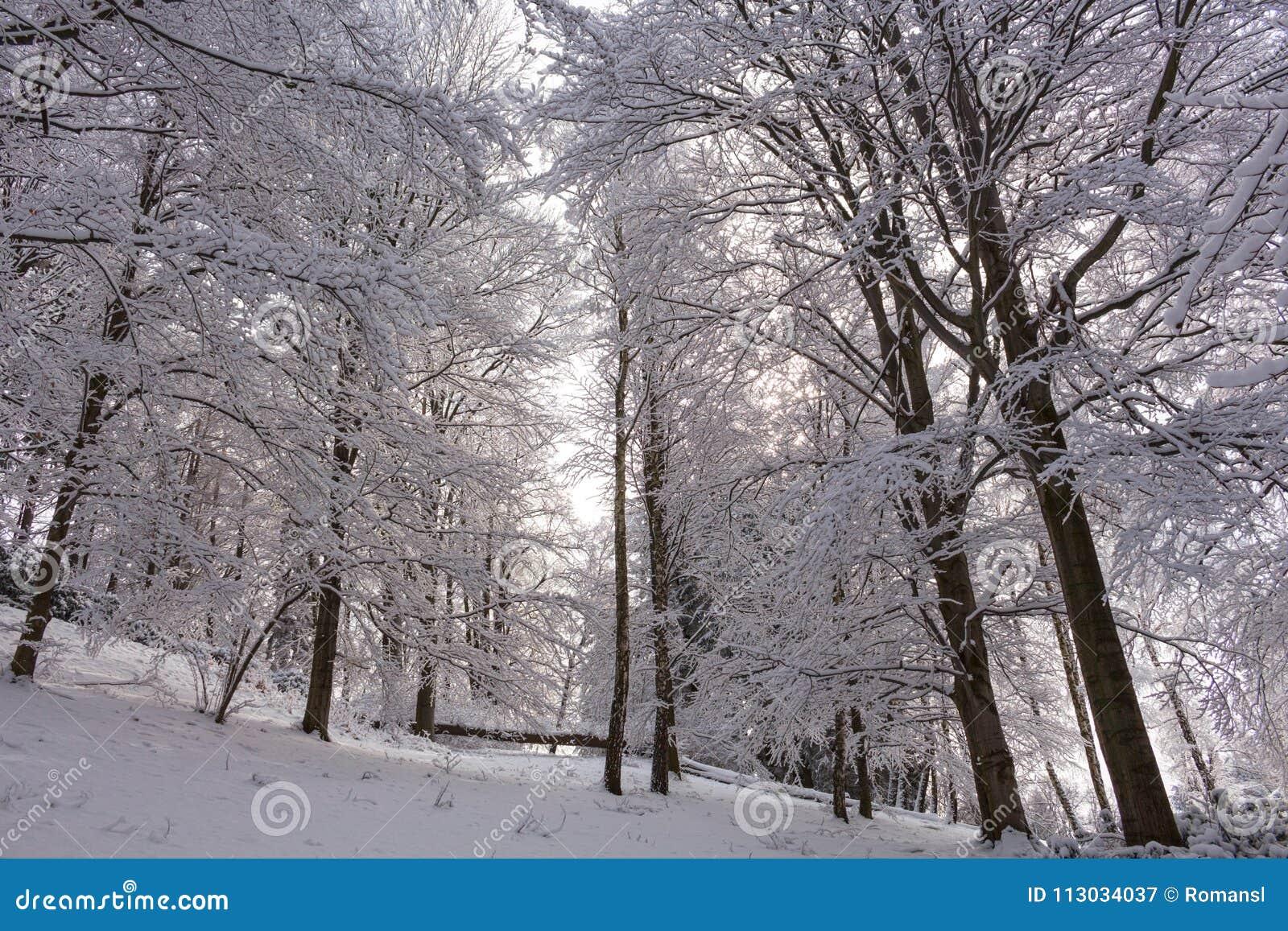 Nieve en las ramas de árbol Opinión del invierno de los árboles cubiertos con nieve La severidad de las ramas debajo de la nieve